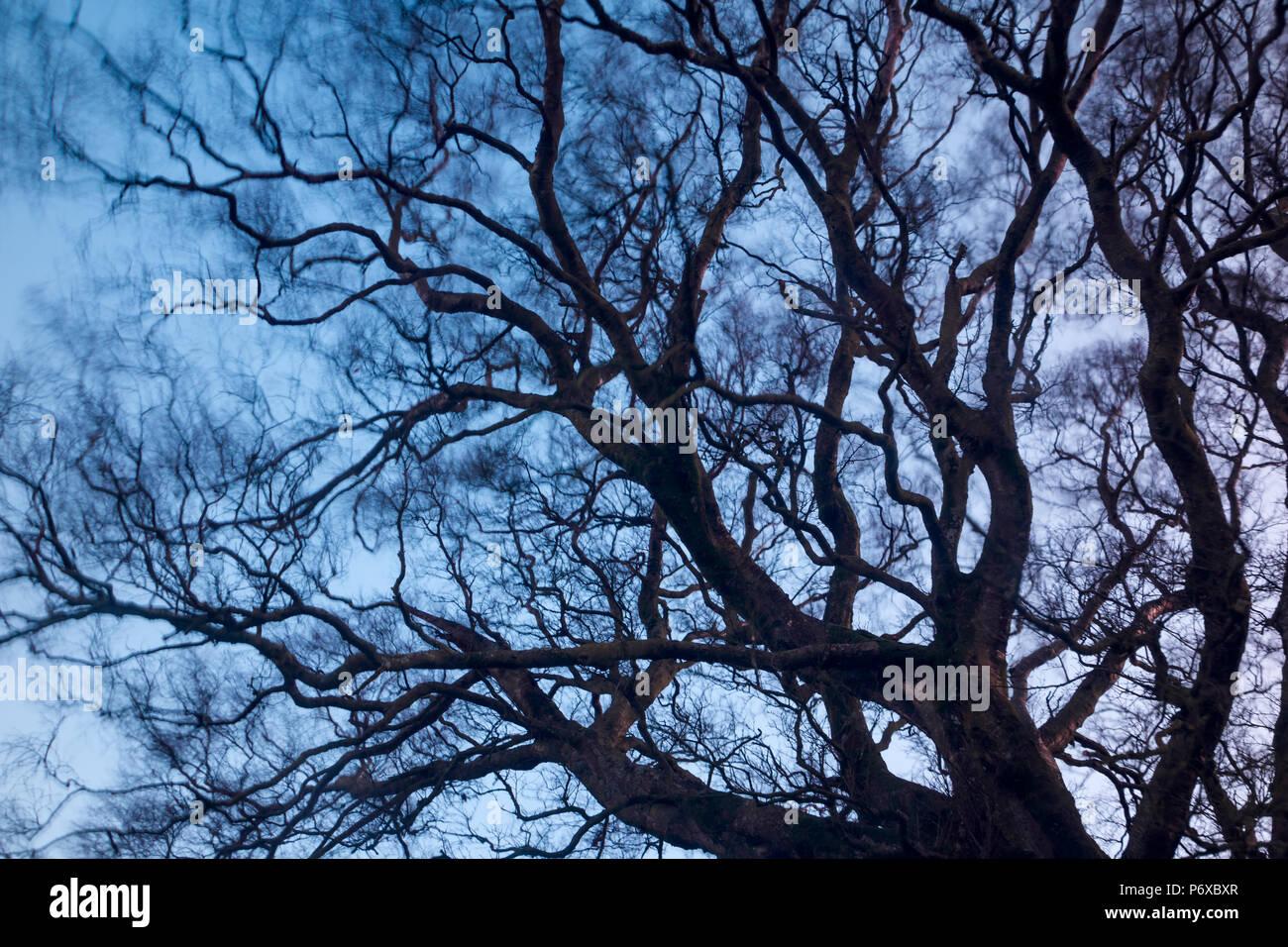 Una imagen abstracta de un desnudo las ramas de los árboles movidas por el viento, el Parque Nacional de Brecon Beacons, Gales, noviembre de 2017 Imagen De Stock