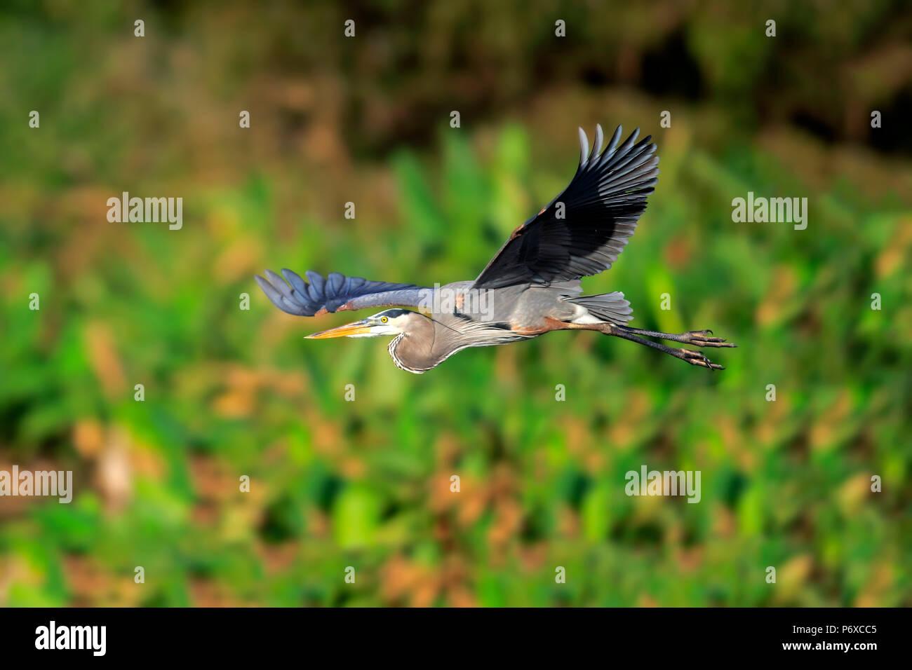 Great Blue Heron, adulto vuela, Wakodahatchee humedales, Delray Beach, Florida, Estados Unidos, Ardea herodias Foto de stock