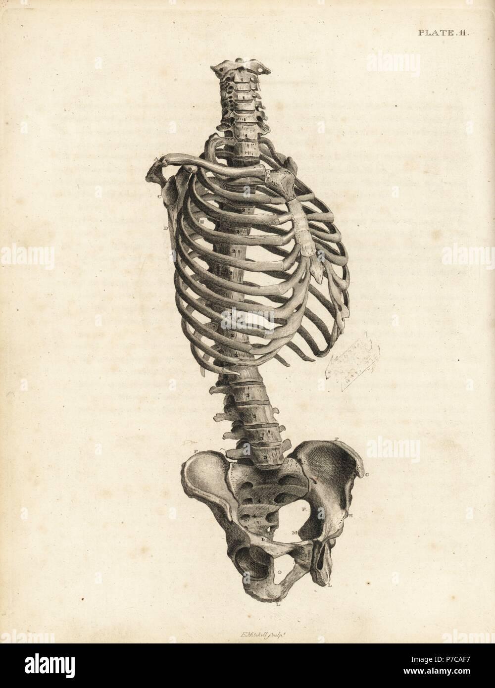 Vista frontal del tronco esqueleto humano incluyendo la columna ...