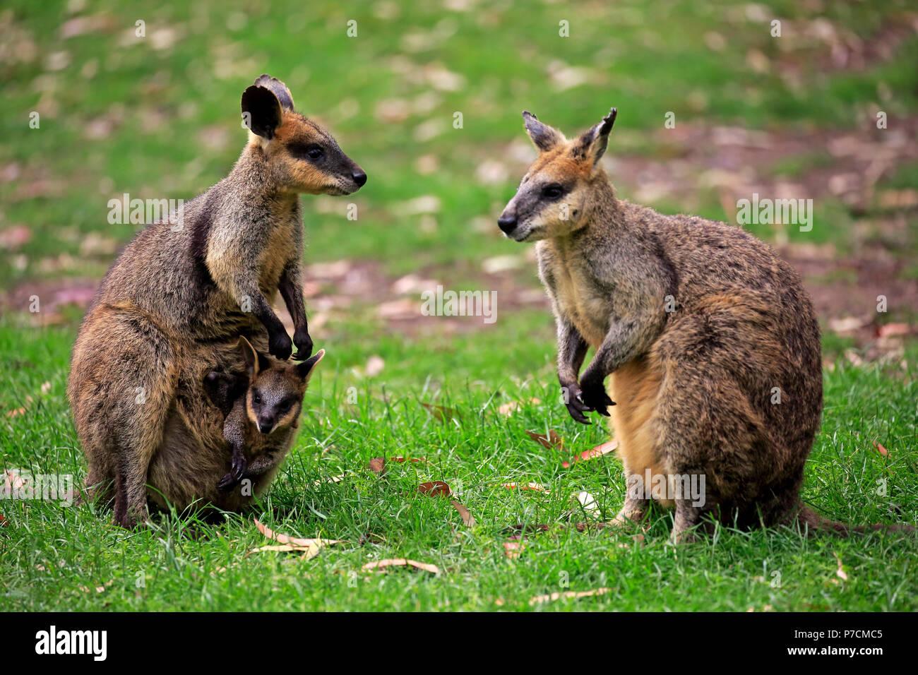 Wallaby ágil, con Joey en bolsa familia, hombres, mujeres, peluches Creek, Australia Meridional, Australia (Macropus agilis) Imagen De Stock