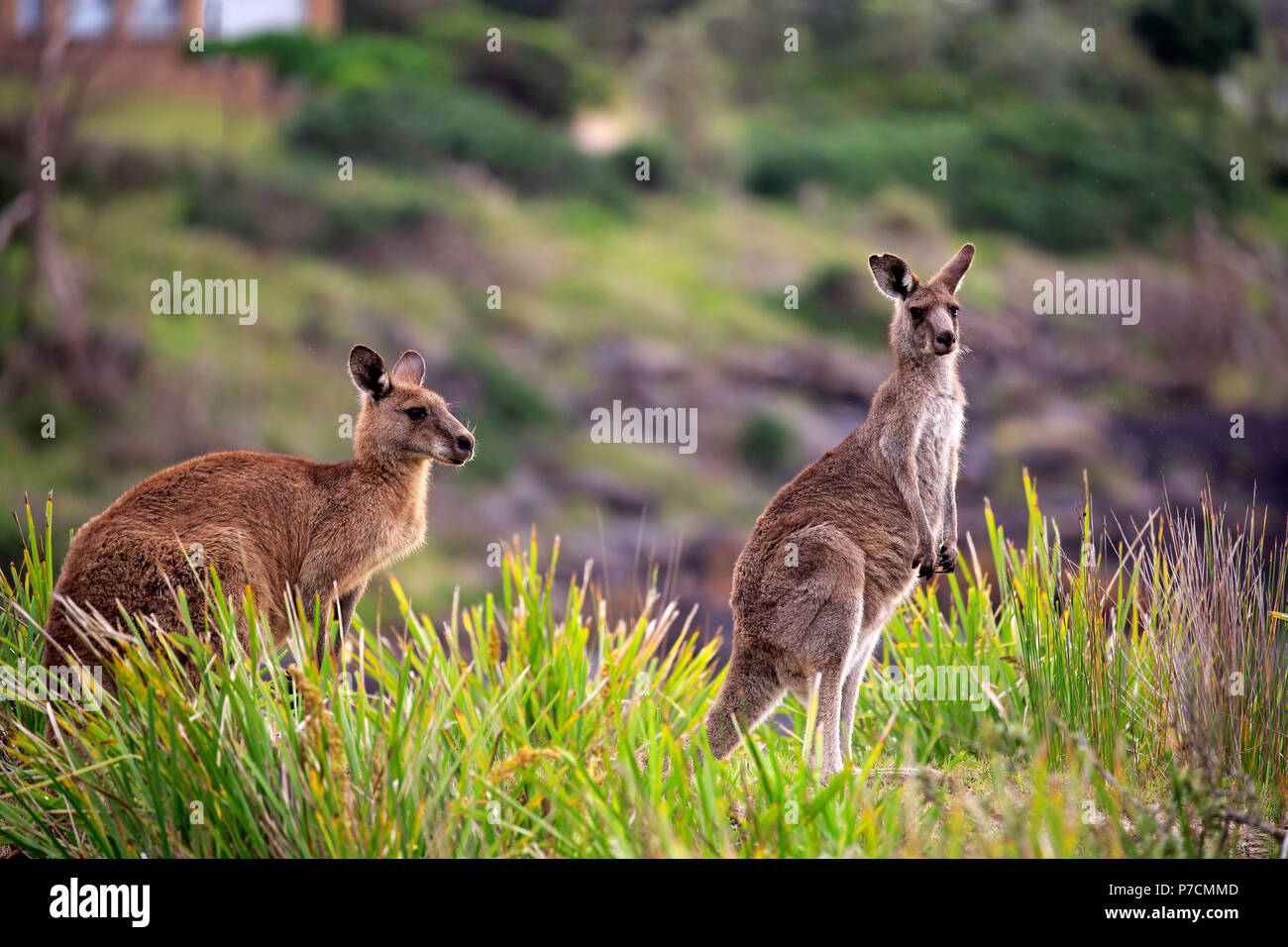 Canguro gris oriental, Feliz Playa, Parque Nacional Murramarang, New South Wales, Australia (Macropus giganteus) Imagen De Stock