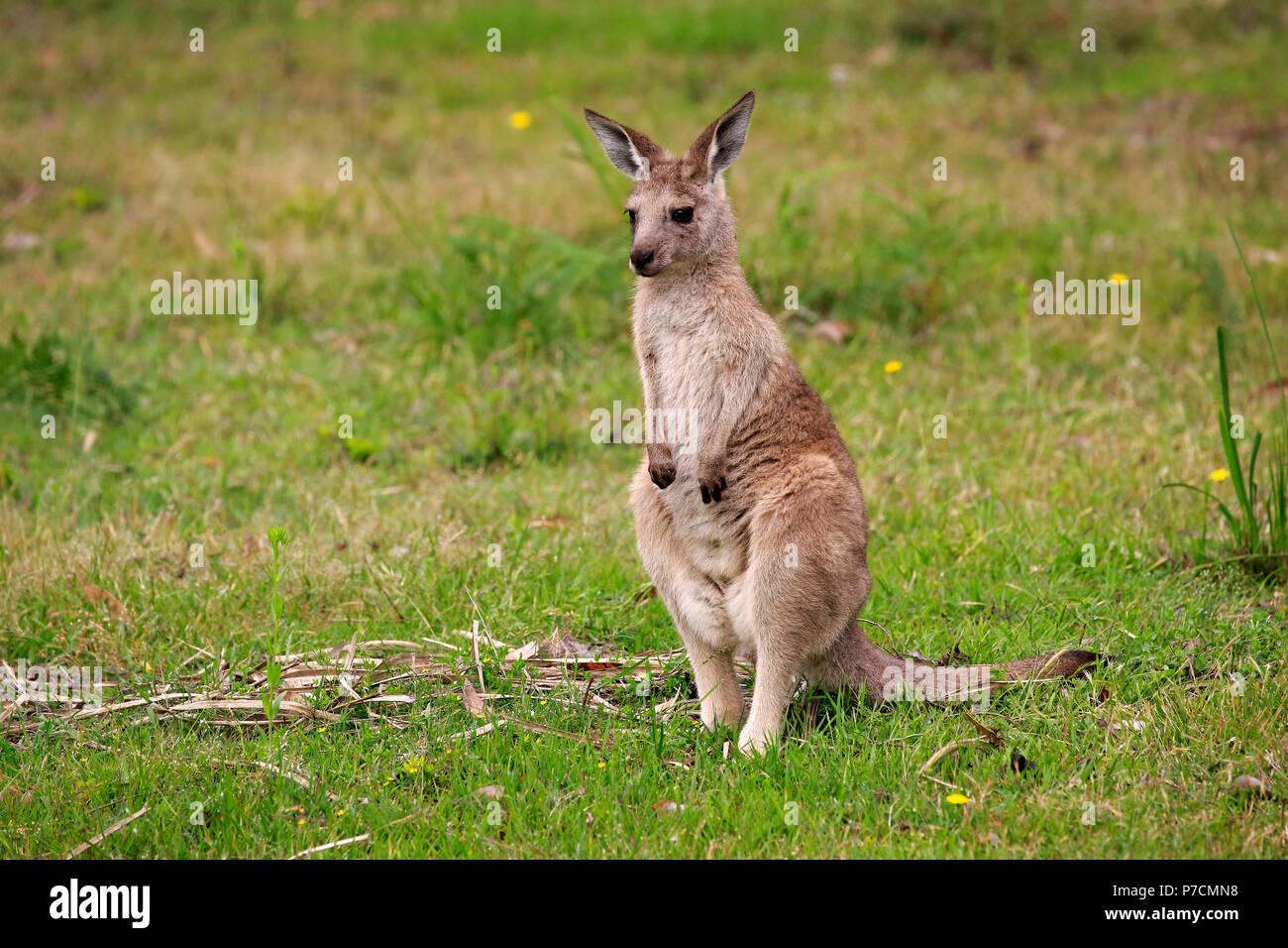 Canguro gris oriental, subadulto, Feliz Playa, Parque Nacional Murramarang, New South Wales, Australia (Macropus giganteus) Imagen De Stock