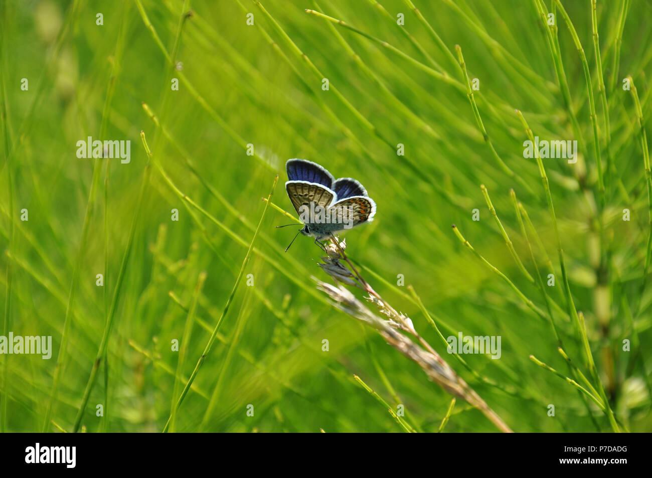 Cola oriental mariposa azul (Everes comyntas, también llamado Cupido comyntas) aislados en el pasto verde de fondo. Vista lateral Foto de stock