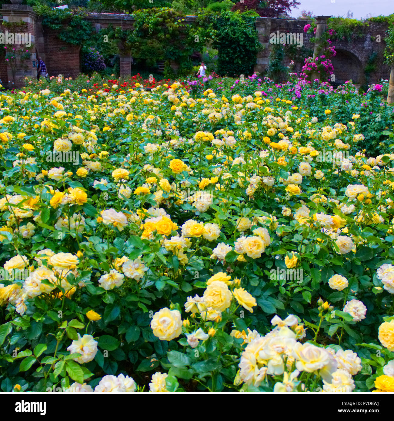 Una pantalla fina de rosas amarillas en el jardín de rosas ...