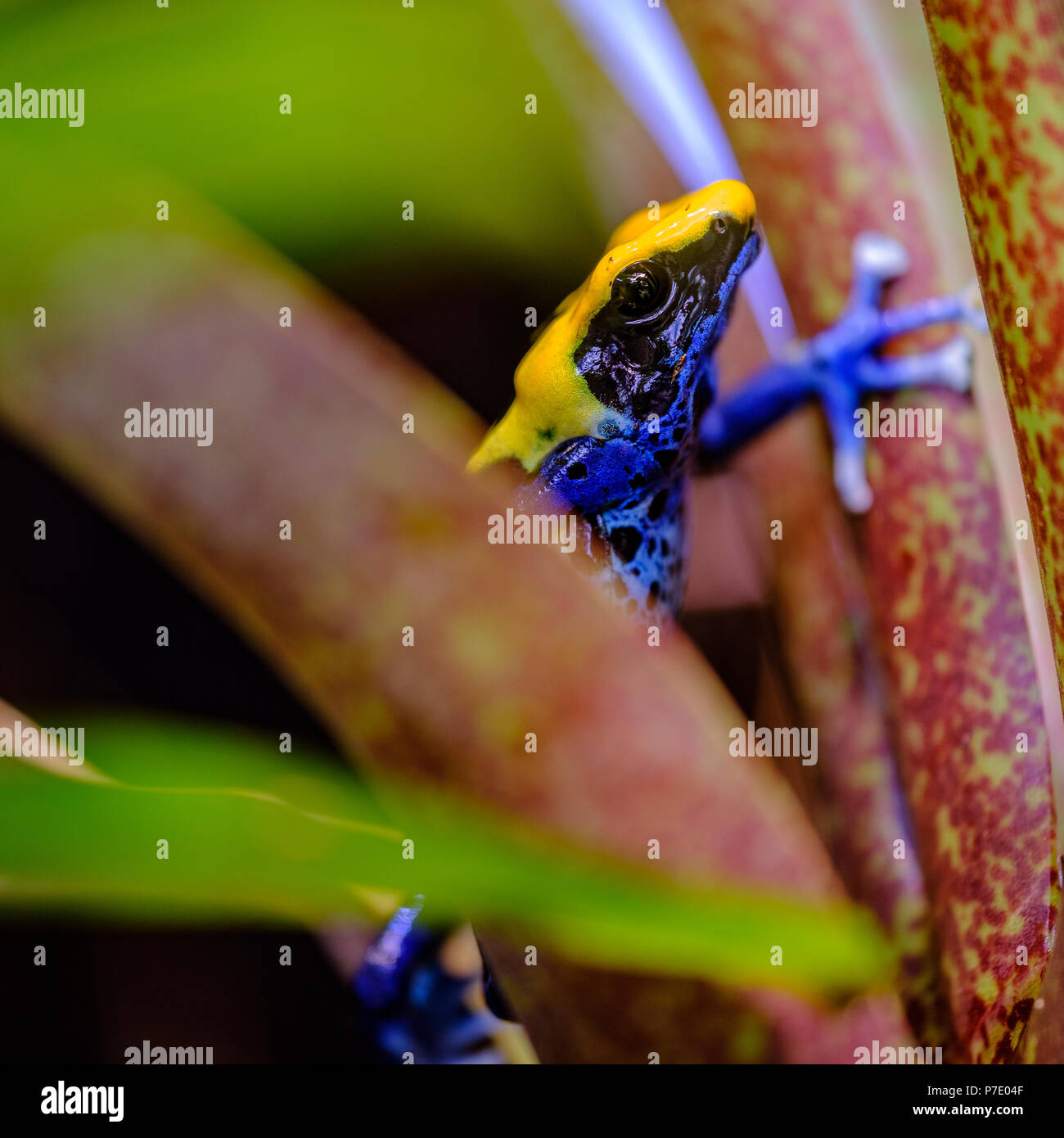 La tintura sapo dardo, tinc (un sobrenombre dado por aquellos en el hobby de mantener dart ranas), o la tintura rana venenosa (Dendrobates tinctorius) es una especie Imagen De Stock