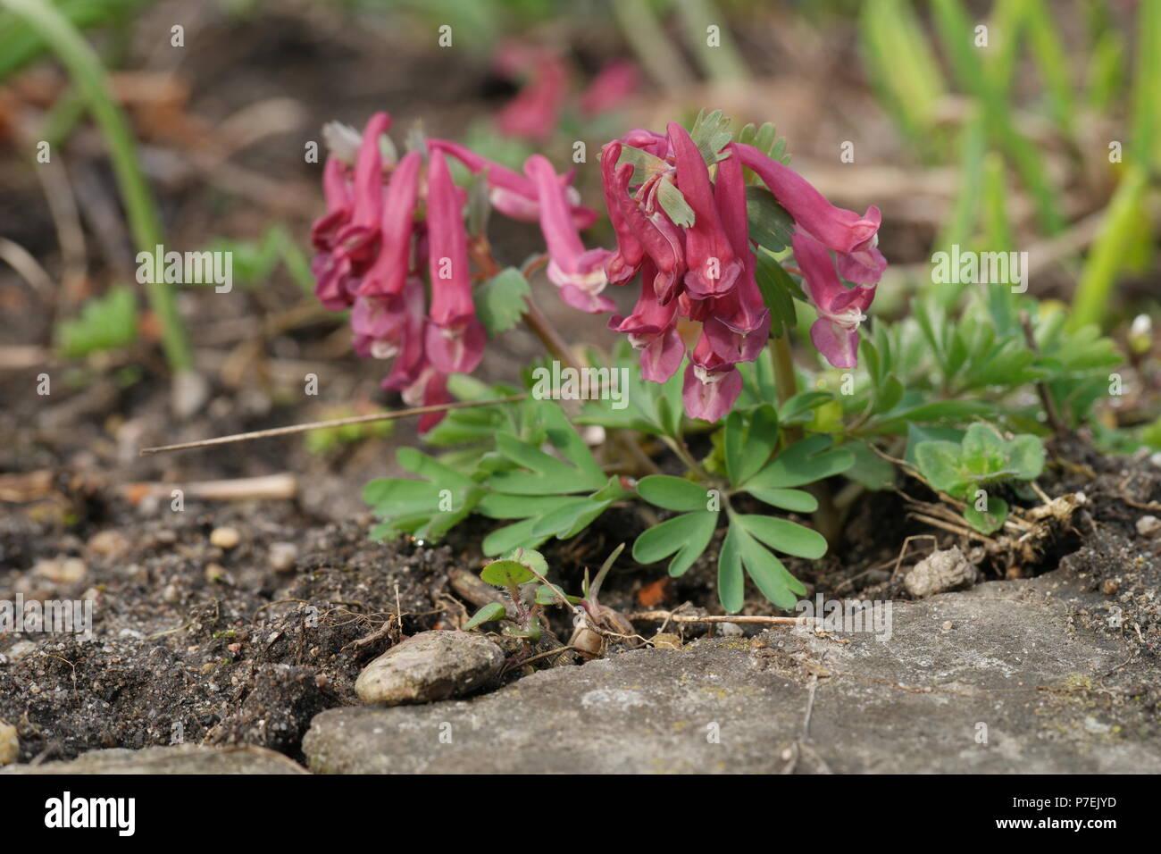 Corydalis solida (Lerchensporn) (Fumewort) (Corydale à bulbe plein) Foto de stock