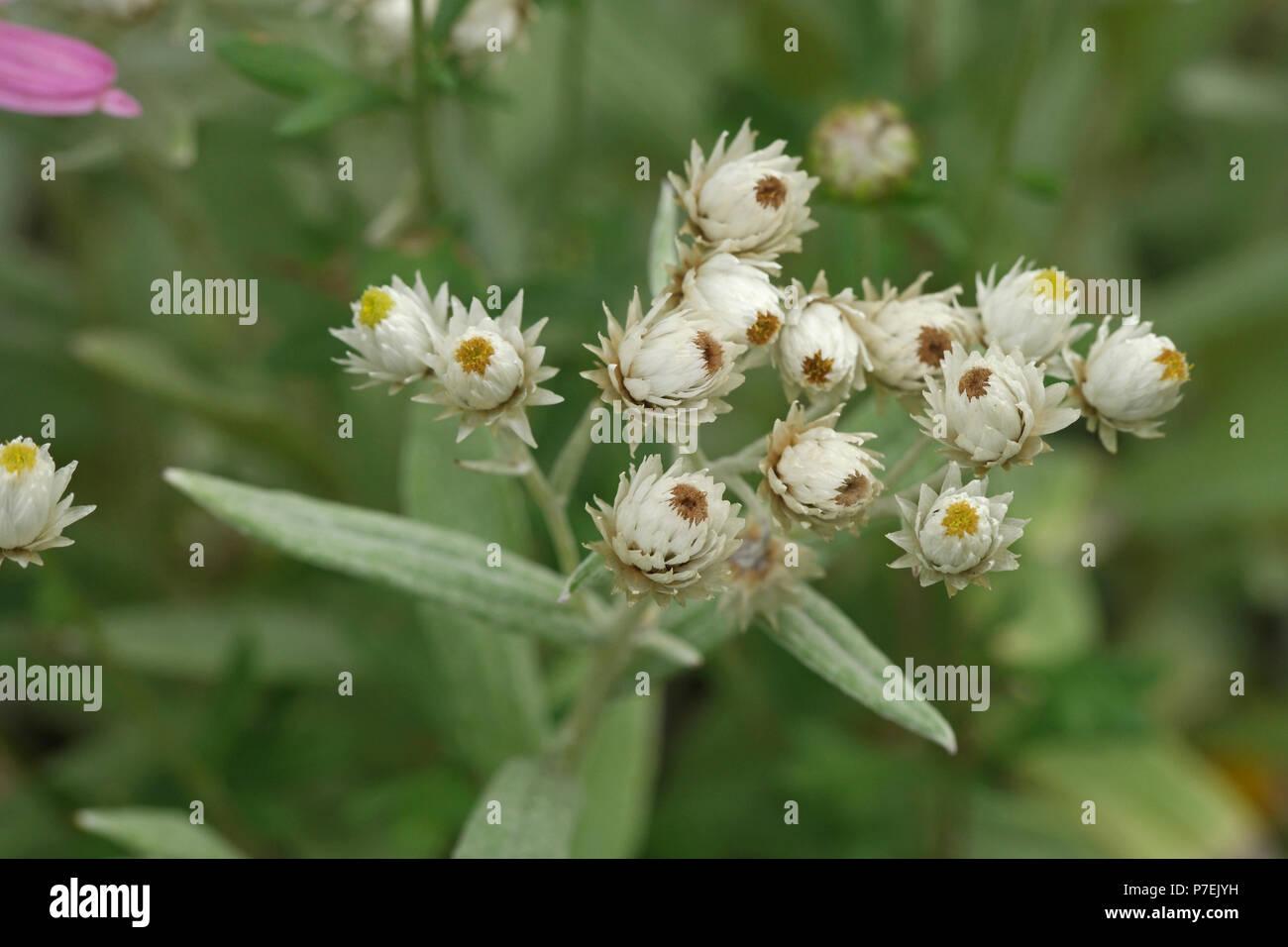 Anaphalis triplinervis (Perlkörbchen) (triple veteado everlastin nacarado) (Immortelle de l'Himalaya) Foto de stock
