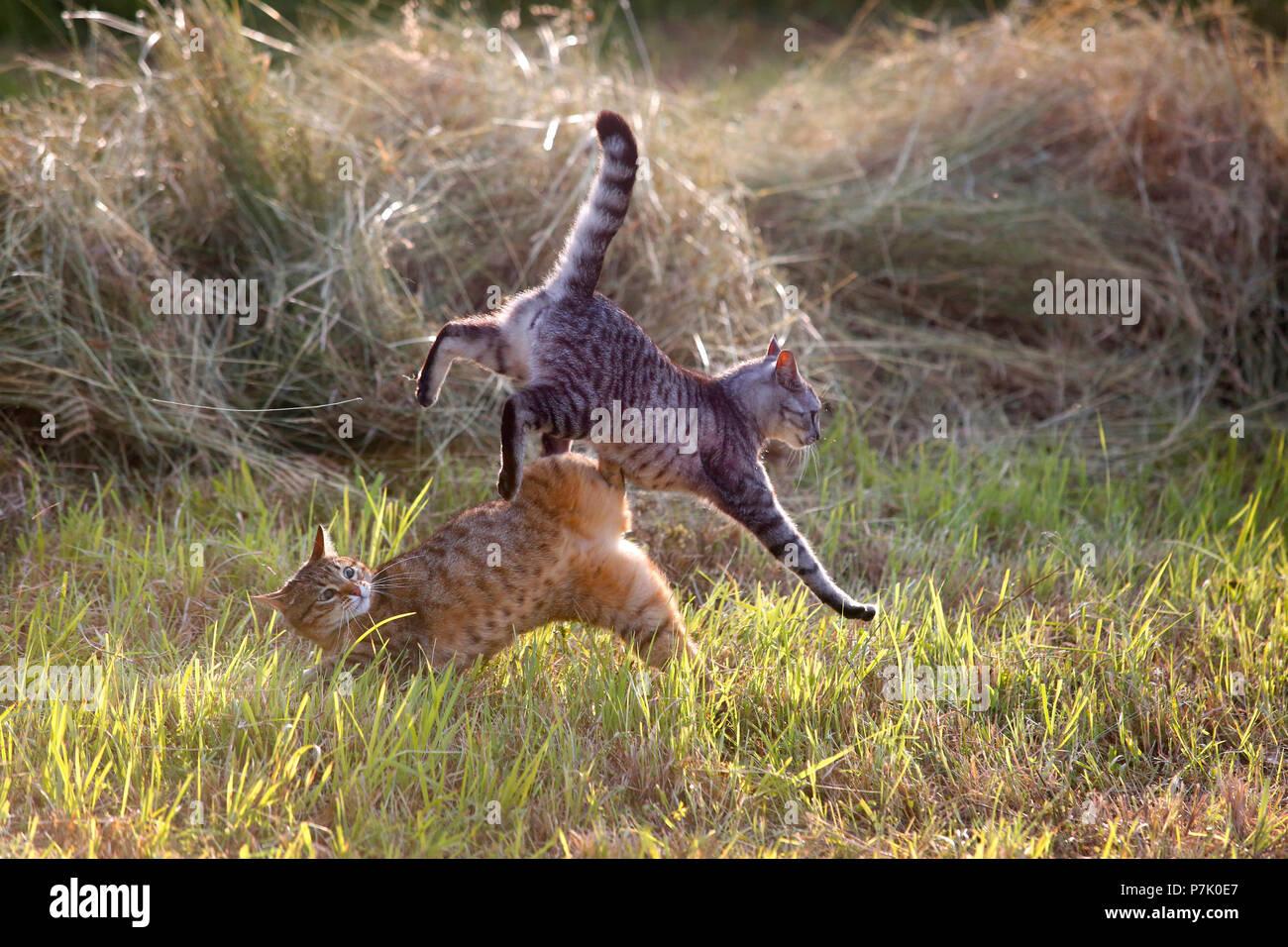 Los gatos domésticos jugando entre la hierba cortada. Imagen De Stock
