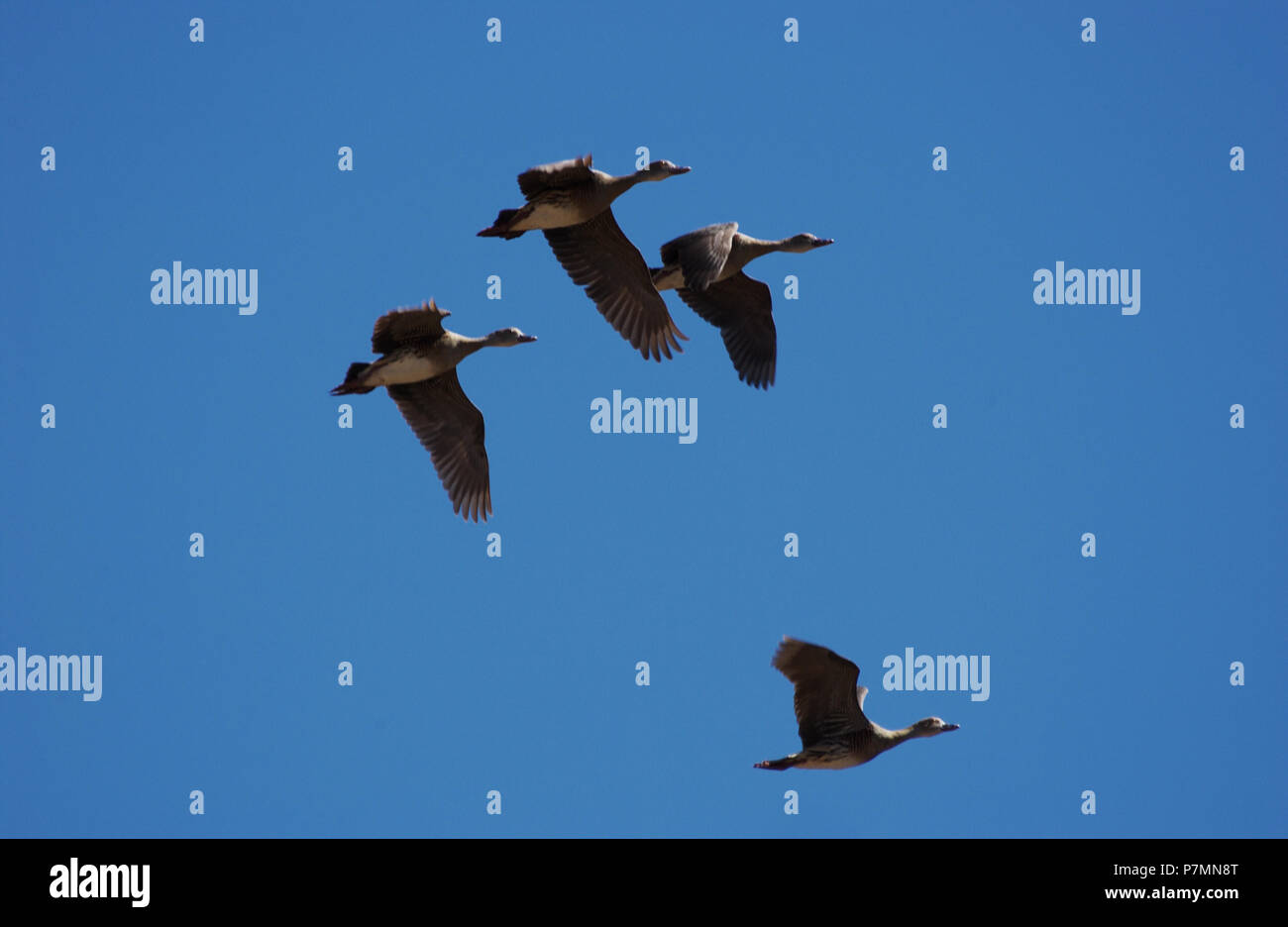 El silbido de patos o patos de árbol, son una subfamilia Dendrocygninae, de los patos, gansos y cisnes, aves de la familia Anatidae. Imagen De Stock