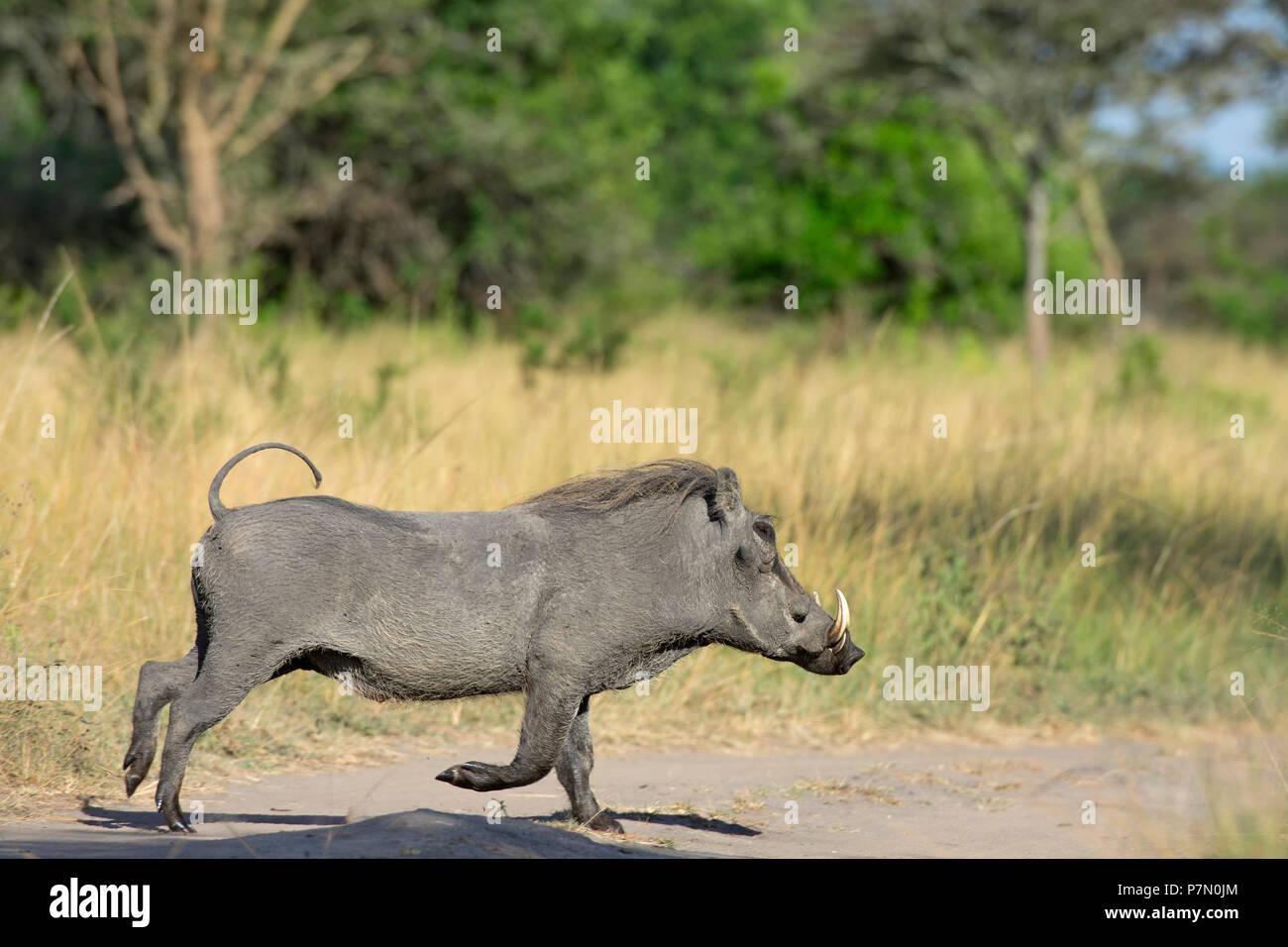 Warthog, el Parque Nacional del Lago Mburo, Uganda, África Oriental Imagen De Stock