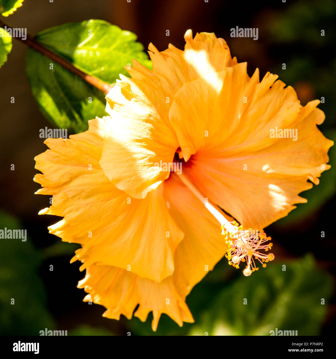 Hibiscus rosa-sinensis, flor de la planta medicinal Imagen De Stock