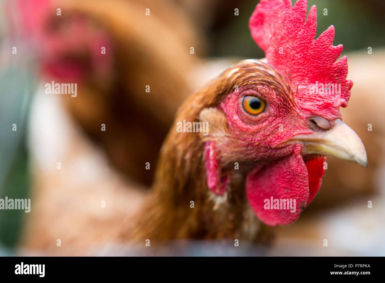 Pollo en una granja orgánica Foto de stock
