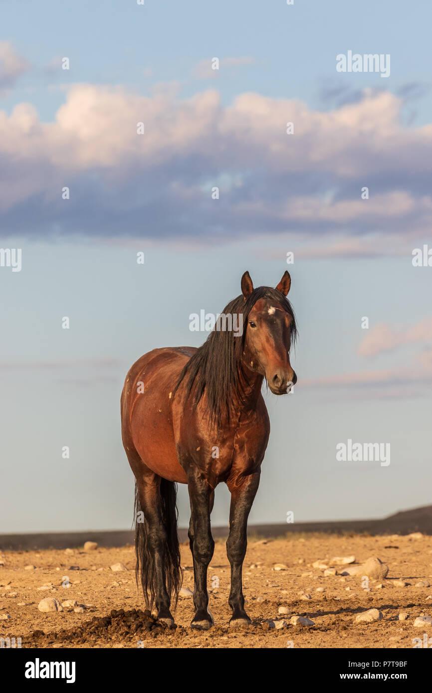 Wild Horse Stallion Foto de stock