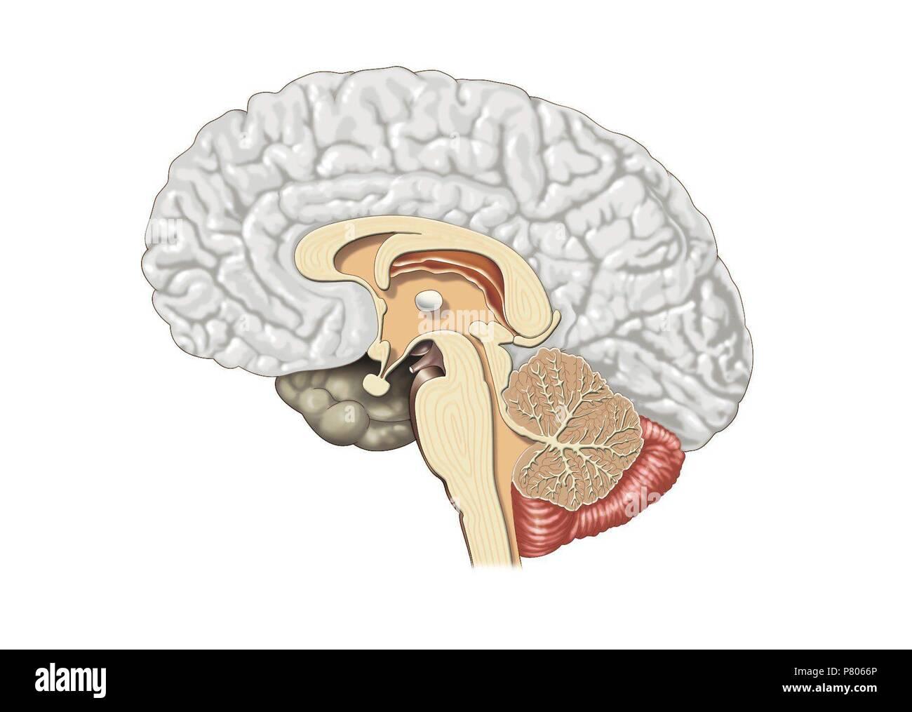 La Estructura Interna Del Cerebro Foto Imagen De Stock