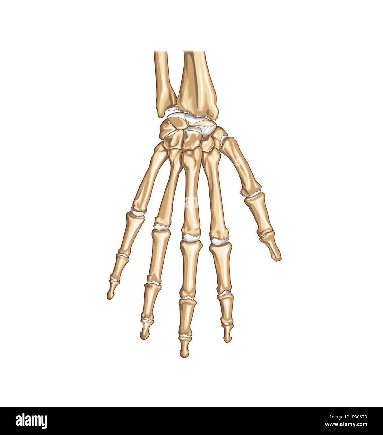 Los huesos de la mano Foto & Imagen De Stock: 211446587 - Alamy