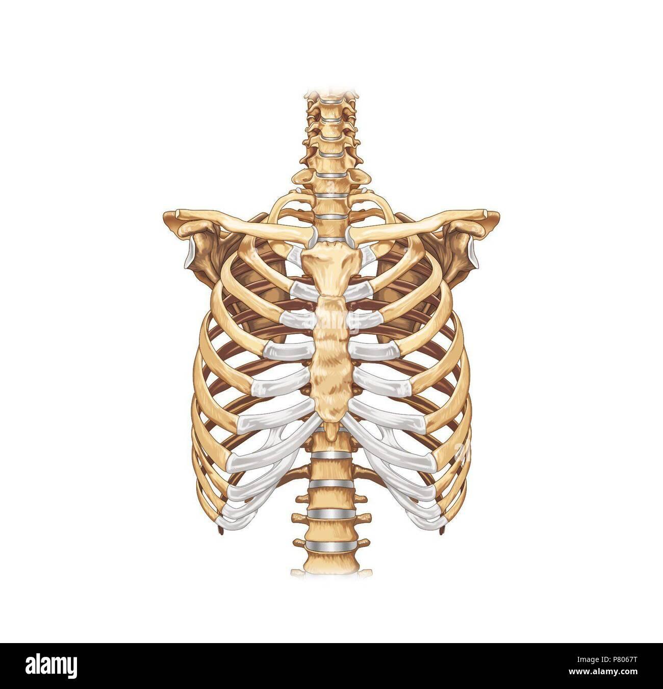 Los huesos del tórax - Vista anterior de la caja torácica Foto ...