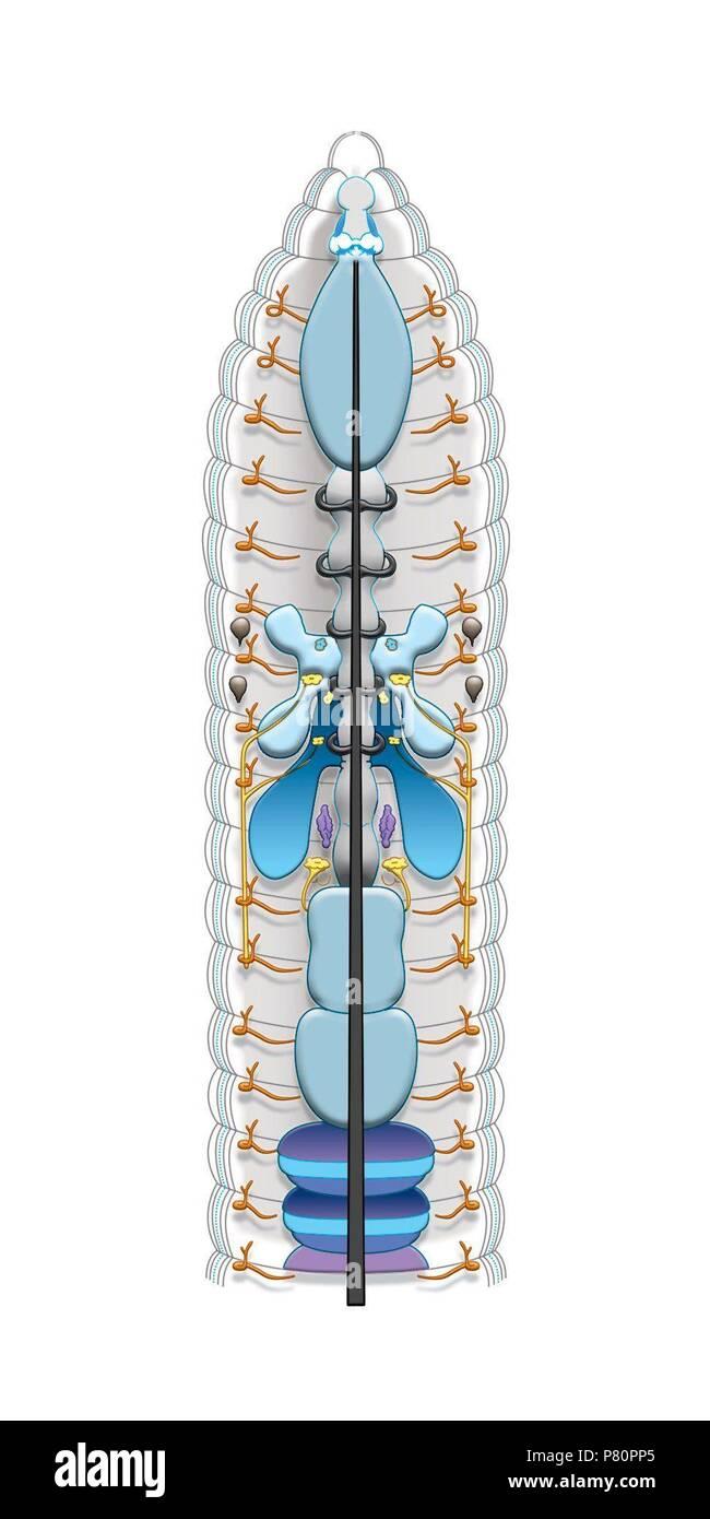 Anatomía de una lombriz de tierra Foto & Imagen De Stock: 211459533 ...