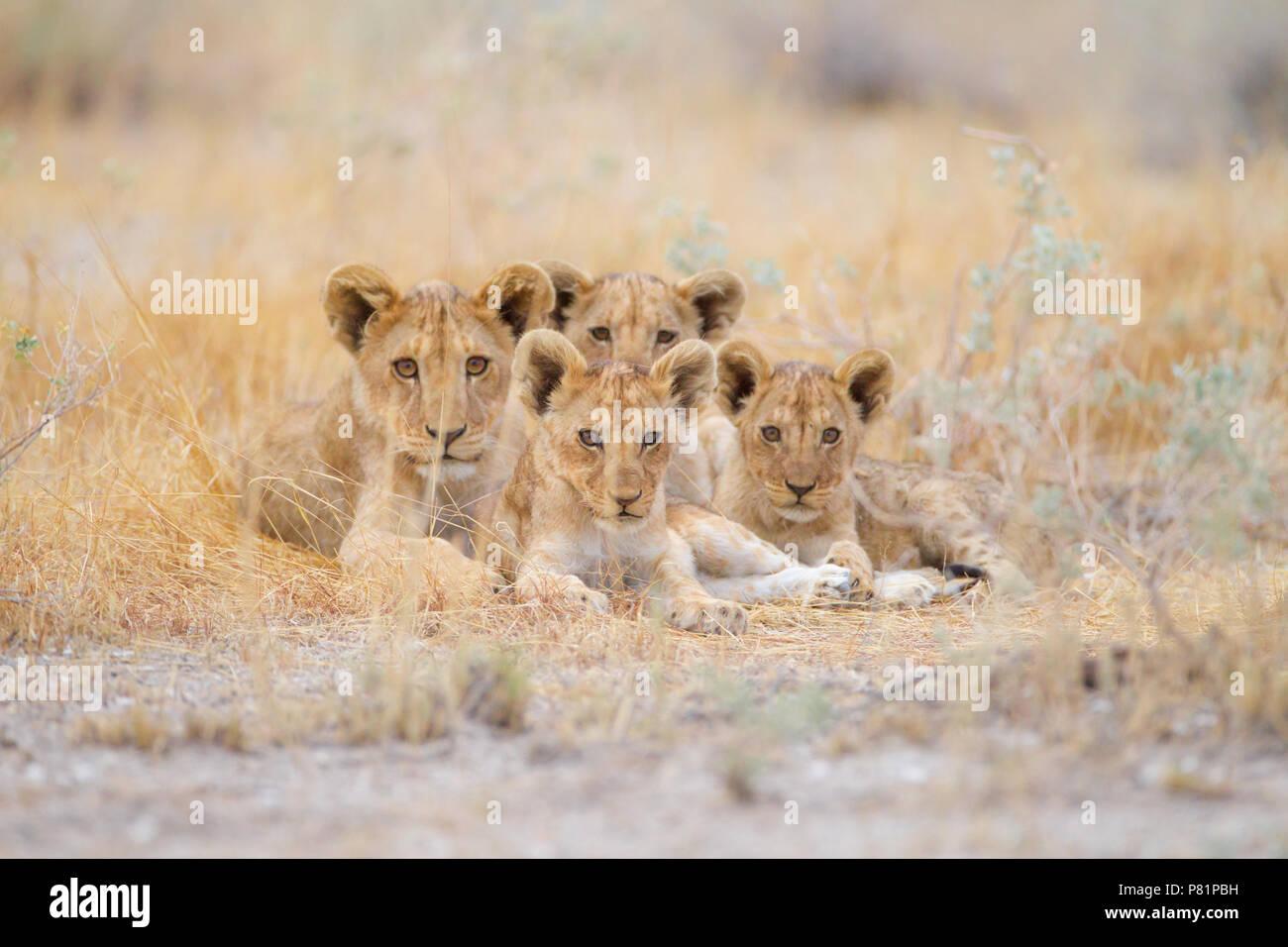 Cute cachorros de león a los hermanos en desierto Etosha Foto de stock