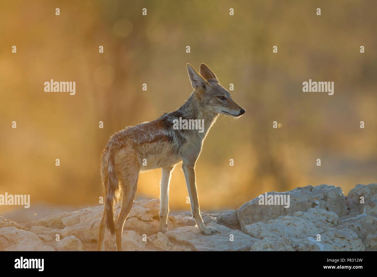 Respaldados negro chacal durante la puesta de sol del amanecer en Kalahari Foto de stock