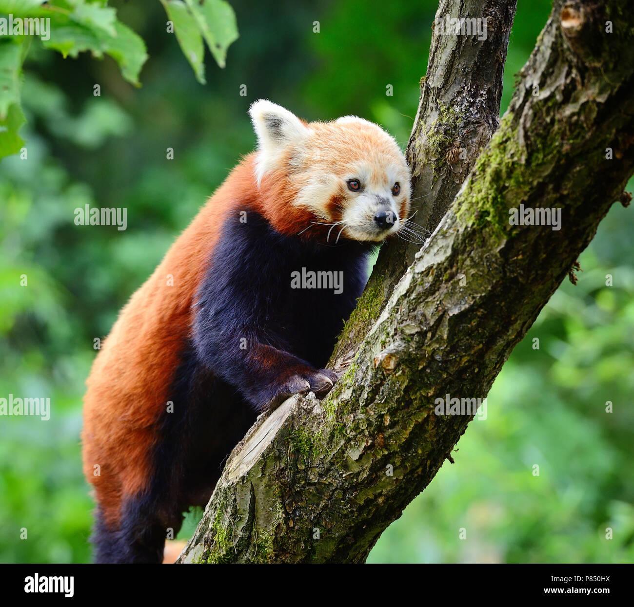 Panda rojo, Firefox o Panda menor (Ailurus fulgens) Foto de stock