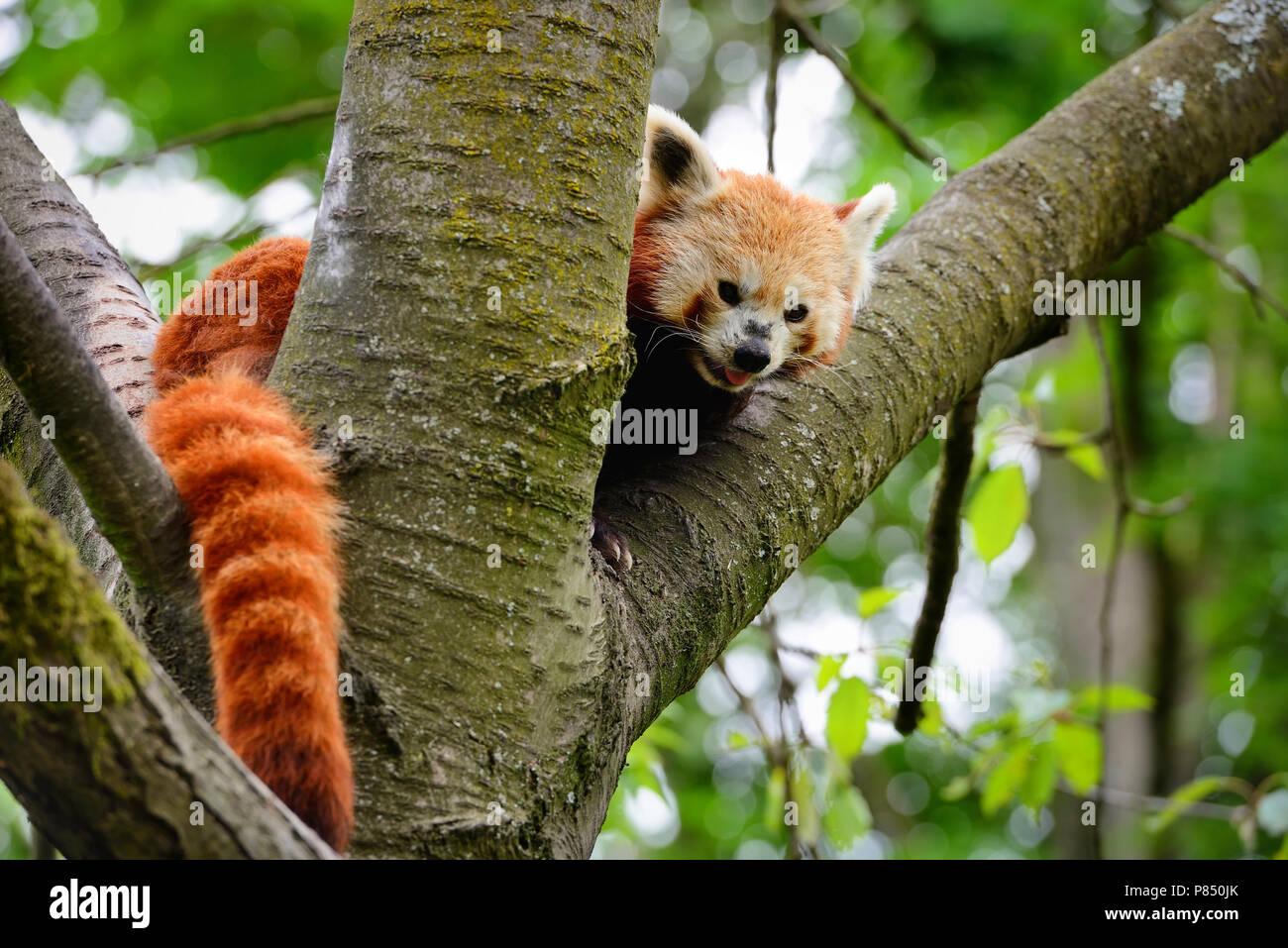 Panda rojo, Firefox o Panda menor (Ailurus fulgens) sentada en un árbol Foto de stock