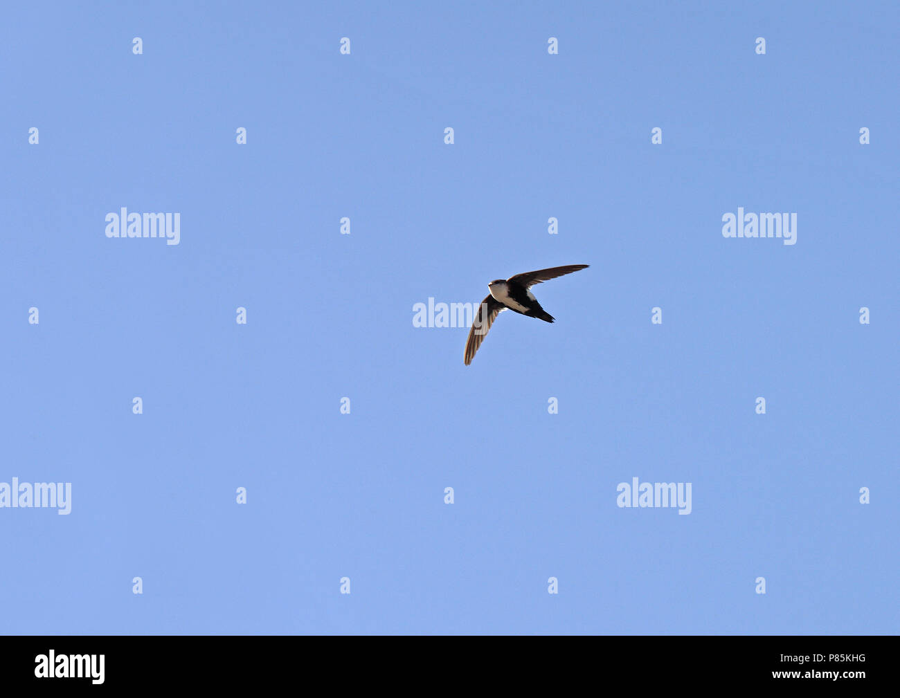 White-throated Swift (Aeronautes saxatalis saxatalis) como todos los vencejos, utilizan sus patas cortas sólo por aferrarse a superficies verticales o alambres, un Foto de stock