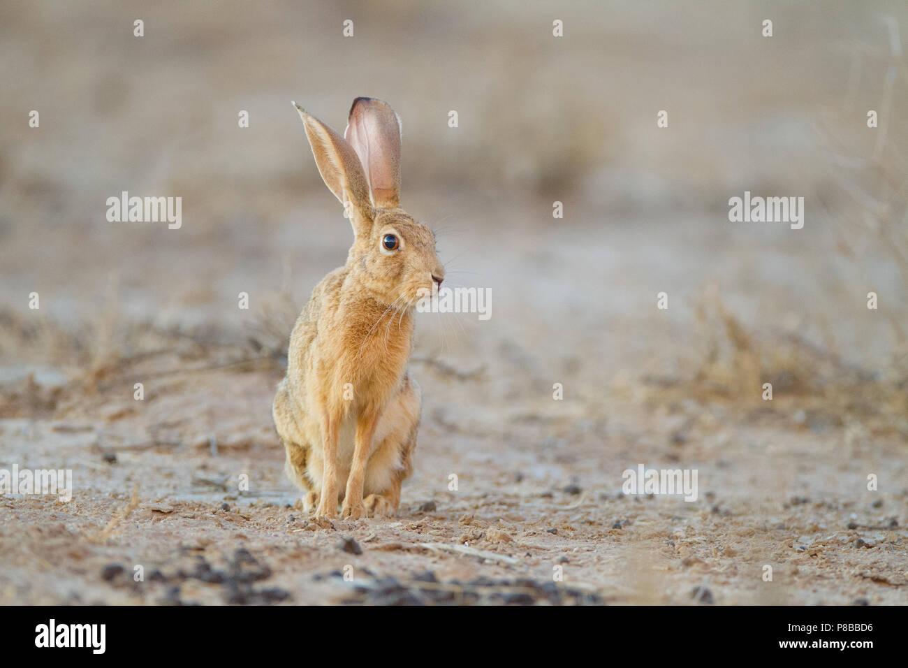 Cape hare retrato en el Kgalagadi Imagen De Stock
