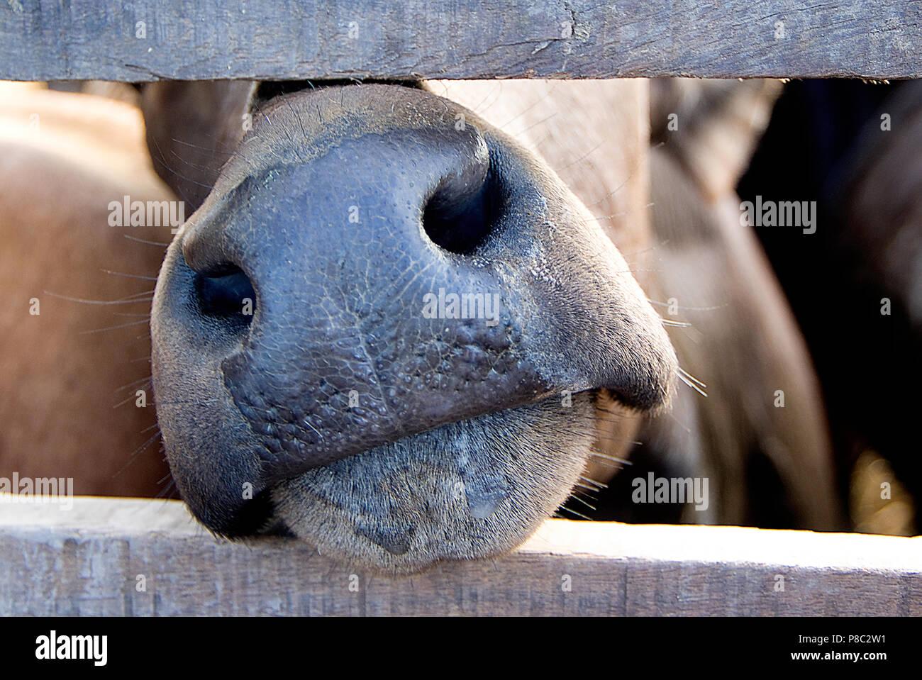 cabeza de vaca Foto de stock