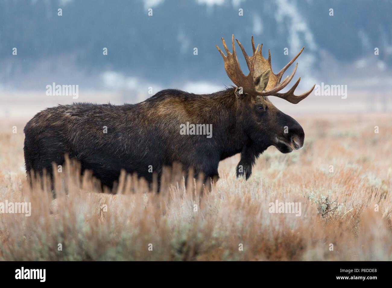 Un toro moose en pie en artemisa como el invierno empieza a establecer. Parque nacional Grand Teton, Wyoming Foto de stock