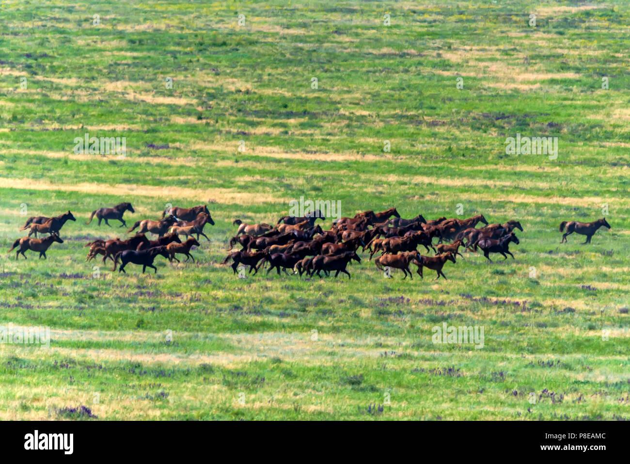 Caballos salvajes gallopping sobre pradera de verano Imagen De Stock