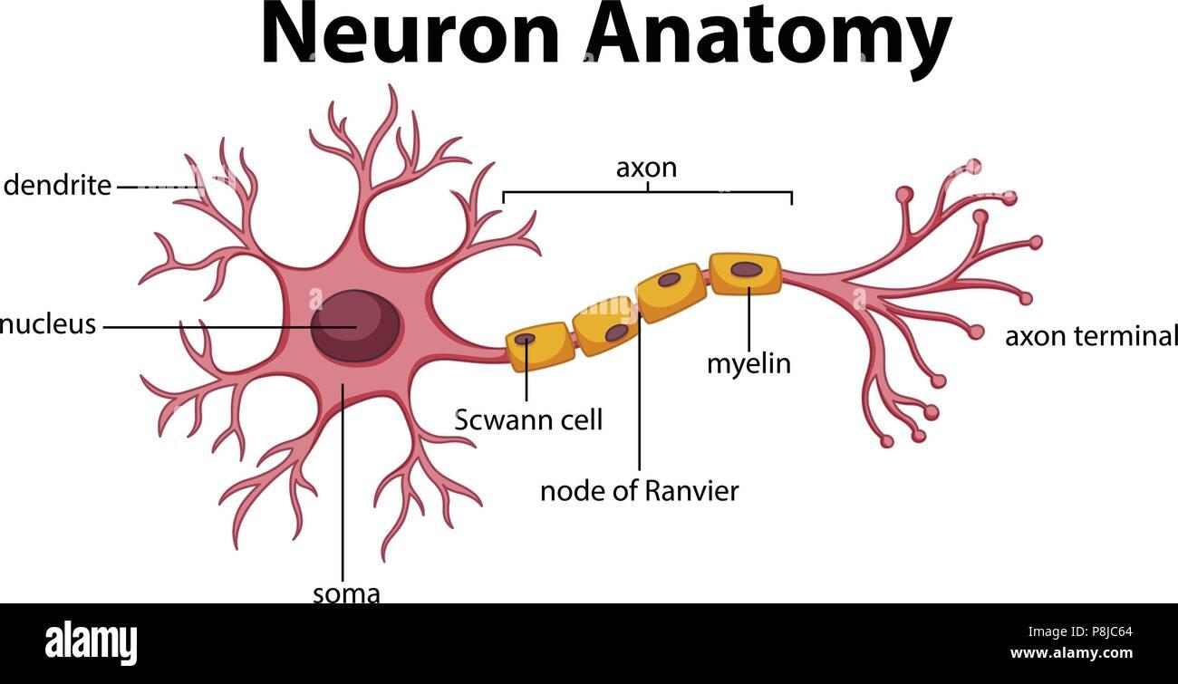Diagrama de la anatomía de la Neurona ilustración Ilustración del ...