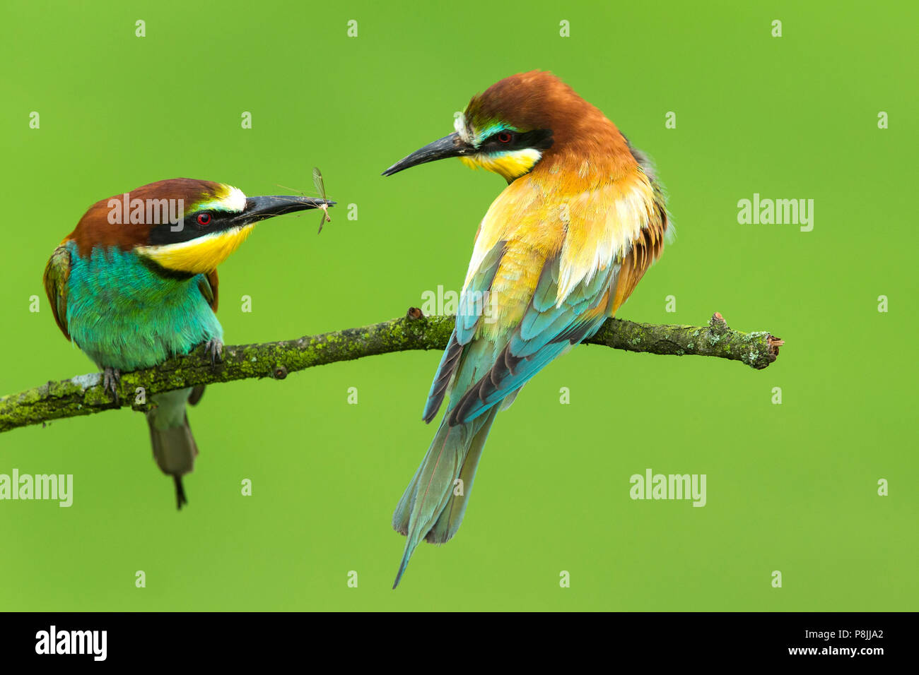 Pareja de abejarucos Europeos (Merops apiaster ) en la rama pasando un insecto Foto de stock