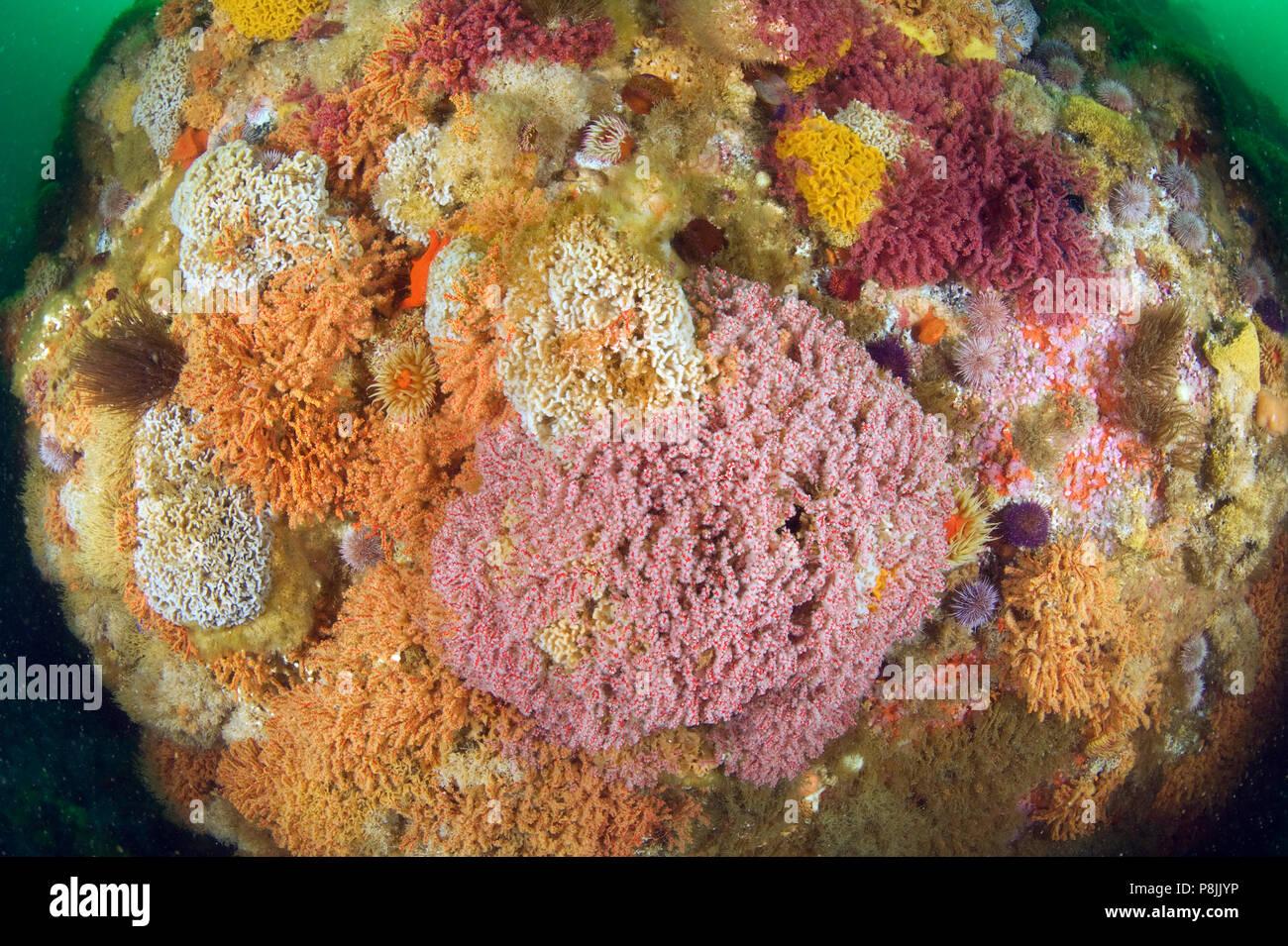 Varias especies de corales de aguas frías en False Bay Foto de stock