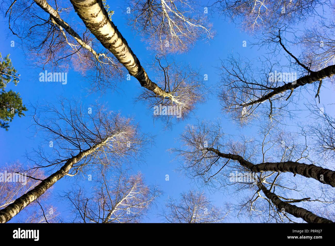 Los árboles sin hojas se extienden al azul del cielo sin nubes a principios de la primavera Imagen De Stock