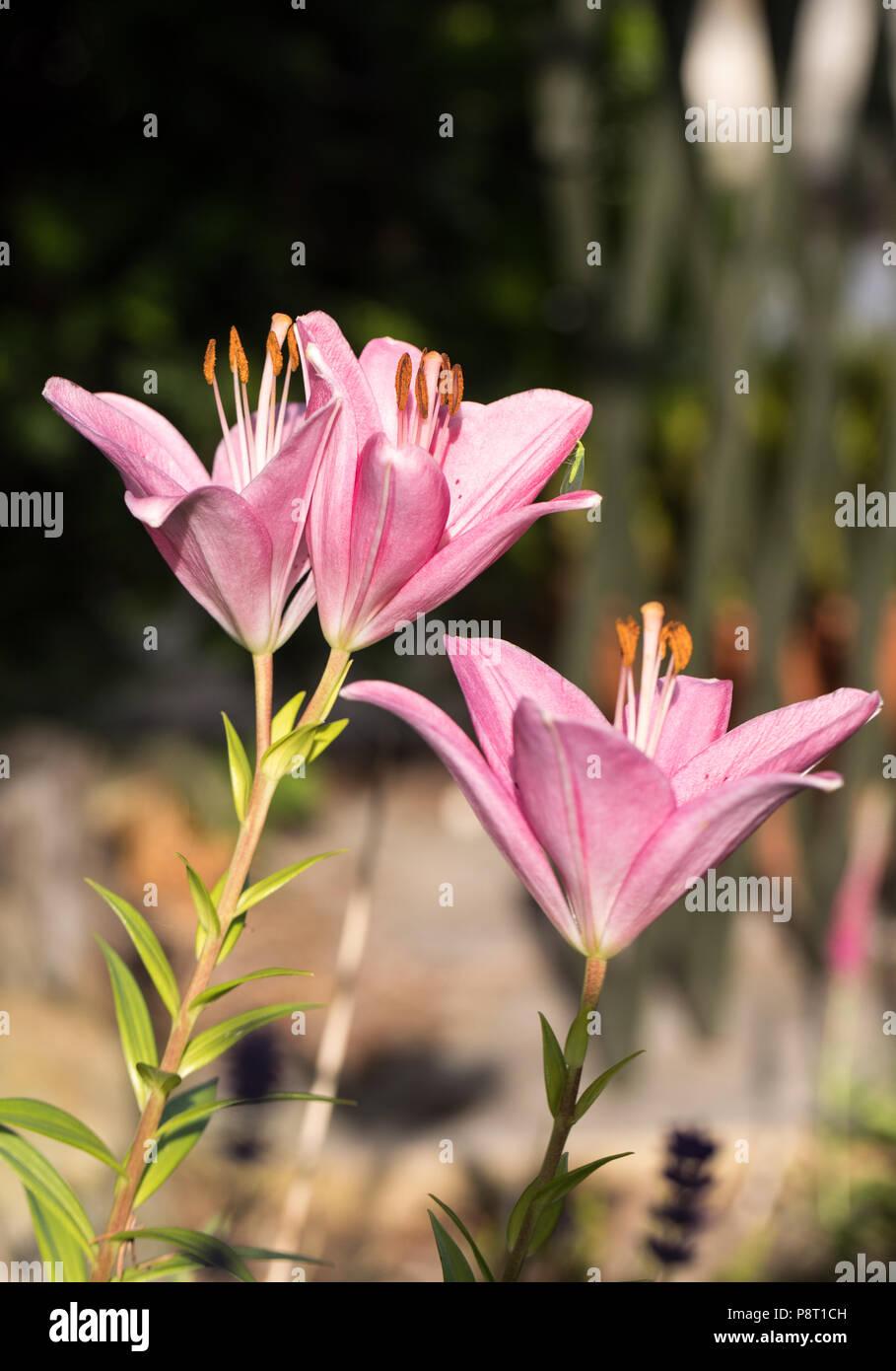Close Up De Liles Rosa Flores Nombres Comunes De Las Especies De