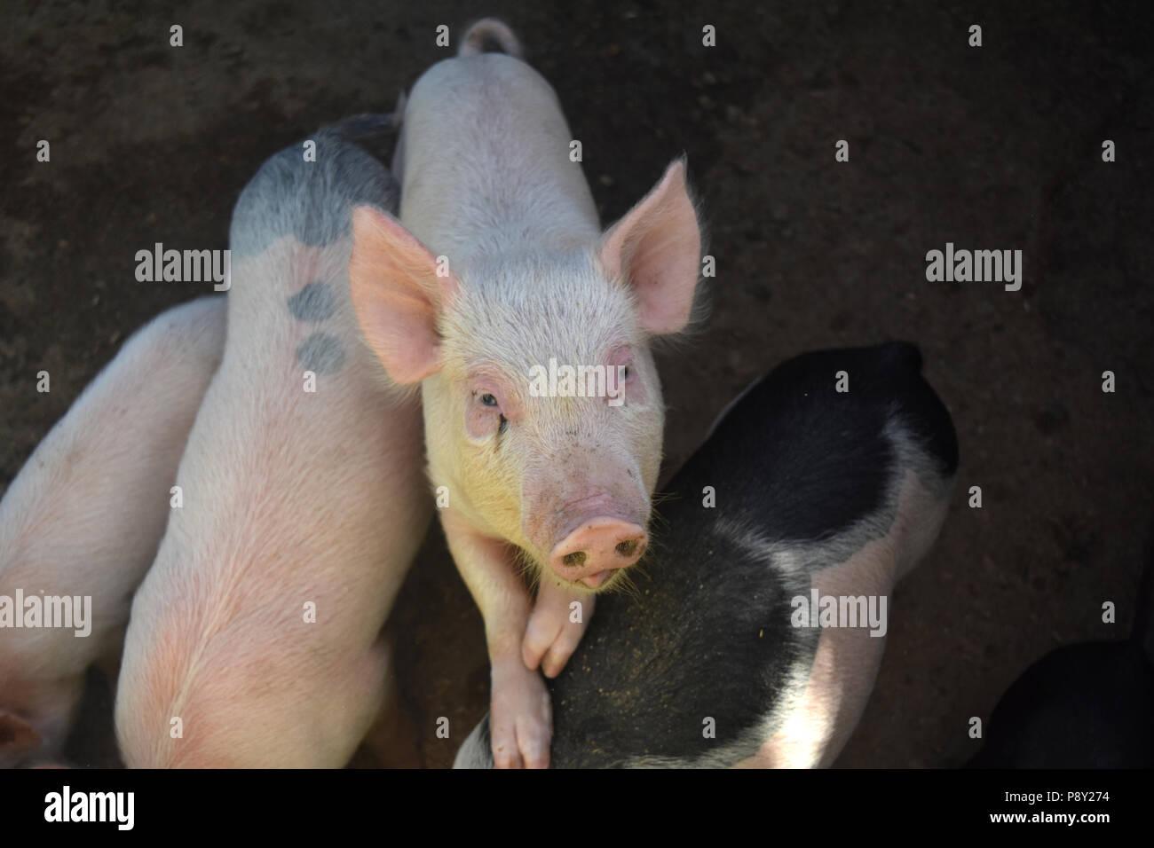 Un lindo piglet pisando a otros cerdos para llegar más alto. Imagen De Stock