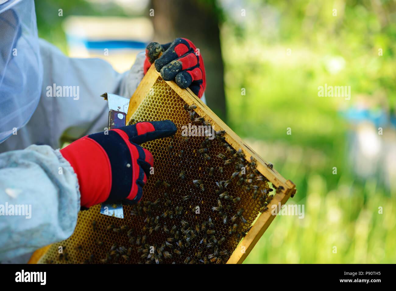 El apicultor retira el bastidor con el panal de la colmena. Imagen De Stock