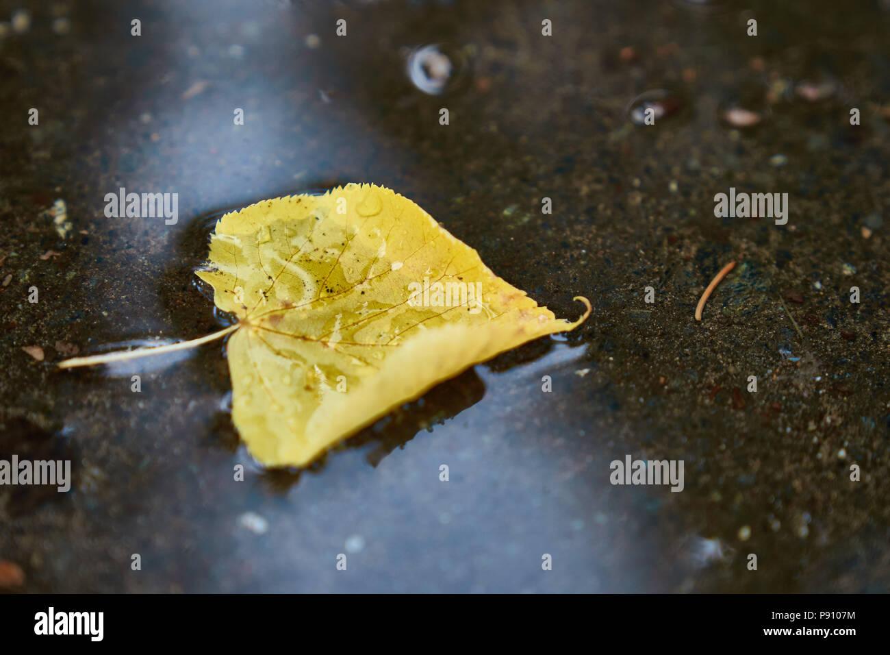 Árbol de hoja amarilla flotando en el charco después de la lluvia Foto de stock