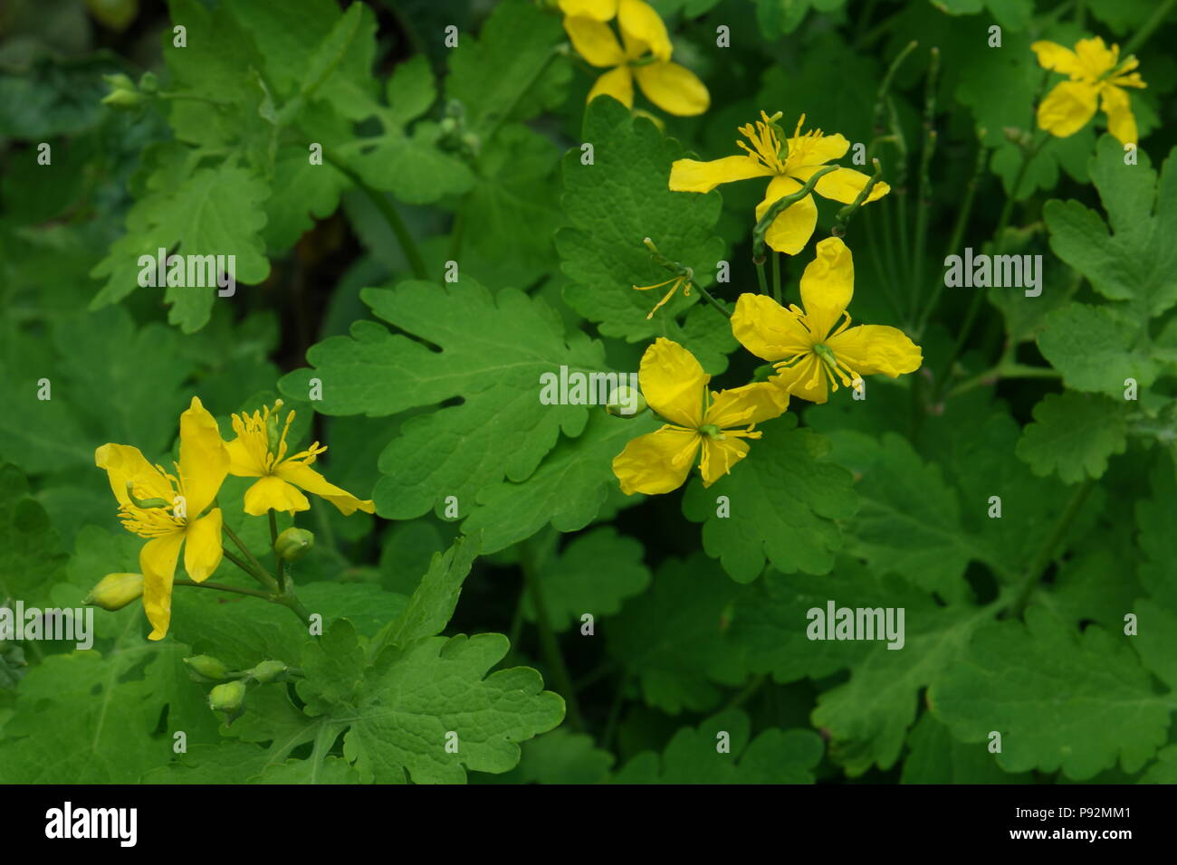 Schöllkraut Chelidonium majus (celidonia) (superior) (Grande Chélidoine) Foto de stock