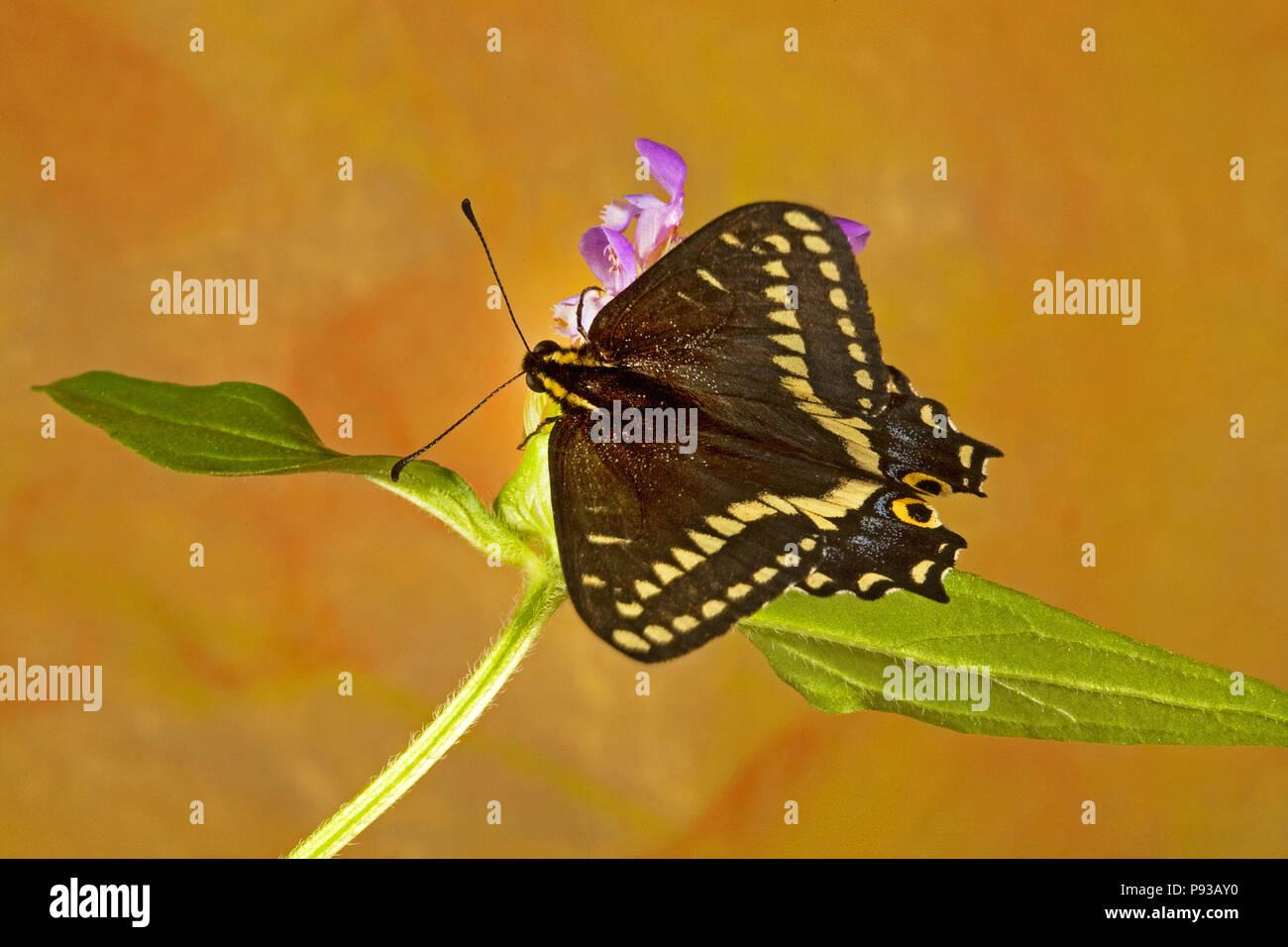 Vista dorsal de una especie de Indra, mariposas Papilio Indra, sobre una flor silvestre en la zona oriental de Cascade Mountains de Oregon central. Imagen De Stock