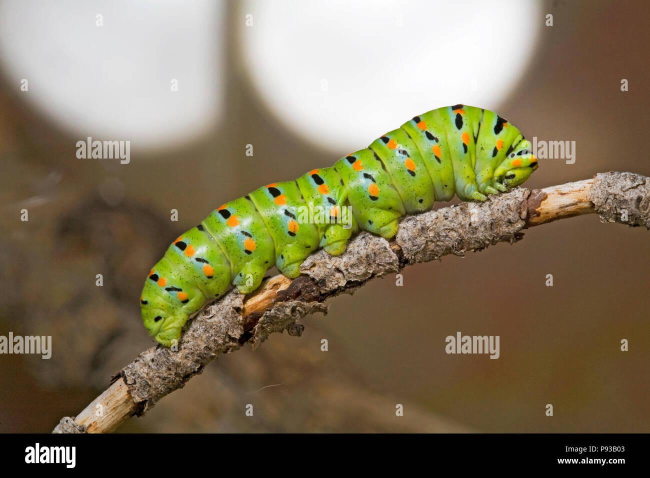 Un primer plano de la oruga o larva de una especie de anís, mariposas Papilio zelicaon, antes de pupa. Los cuernos son de color amarillo, utilizado osmeteria fo Foto de stock