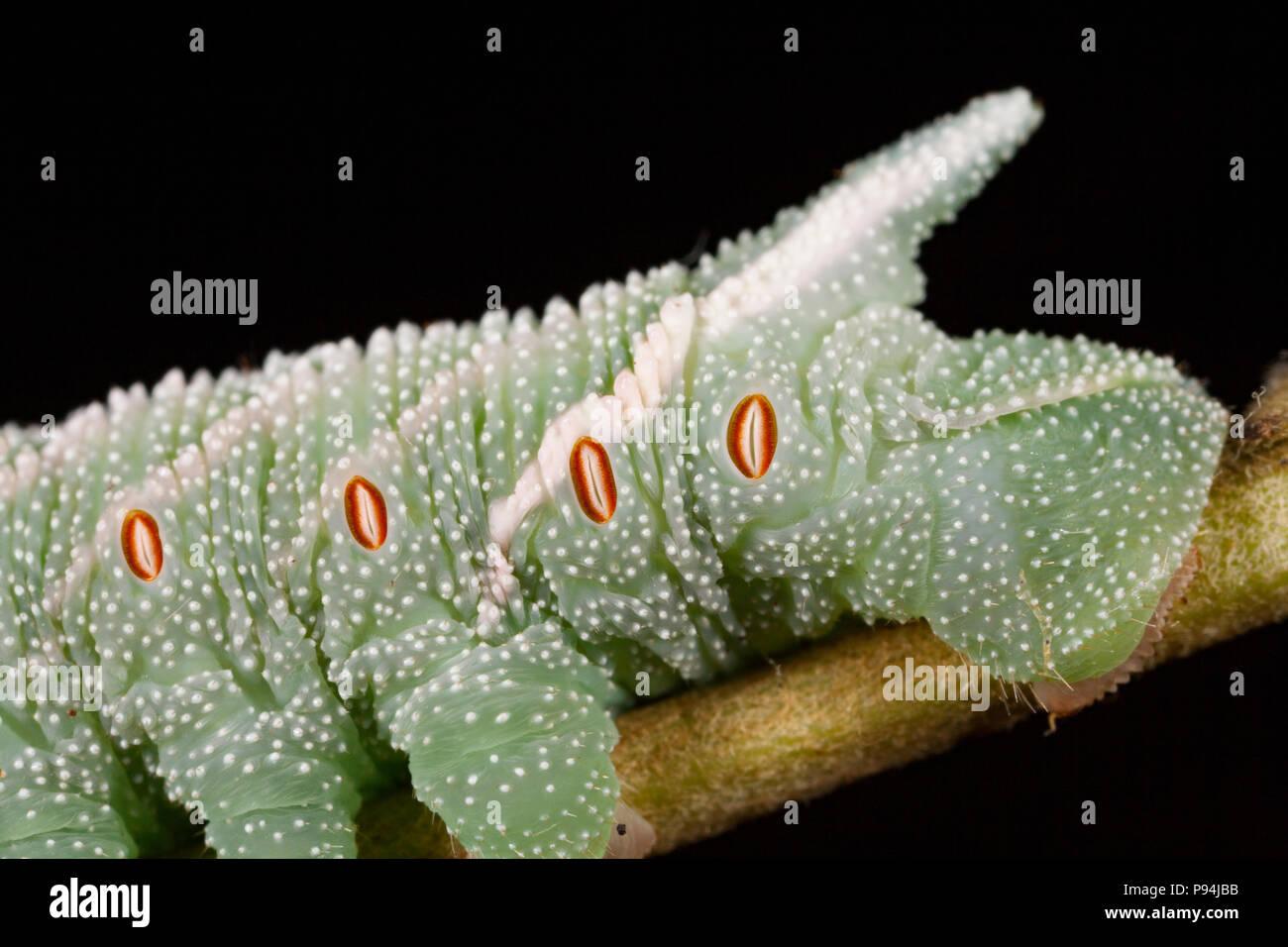 Imagen que muestra el extremo trasero de un eyed hawkmoth caterpillar, Smerinthus ocellata, fotografiado en un estudio en el norte de Dorset, Inglaterra GB. El óvalo, oh Foto de stock