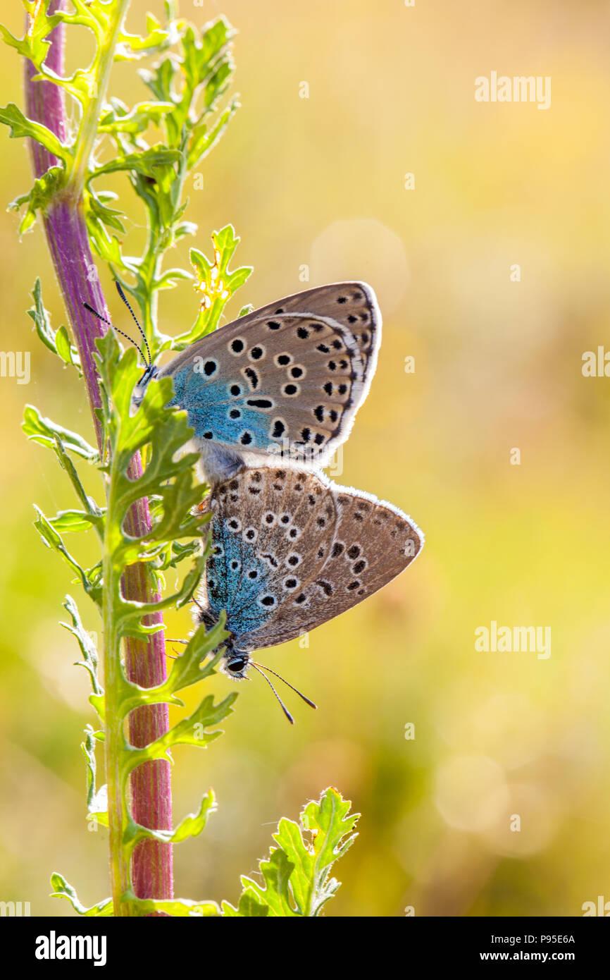 Gran azul de la mariposa Maculinea arion en Collard Hill Somerset tras su exitosa reintroducción a mediados de la década de 1980 después de extinguirse en 1979 Imagen De Stock