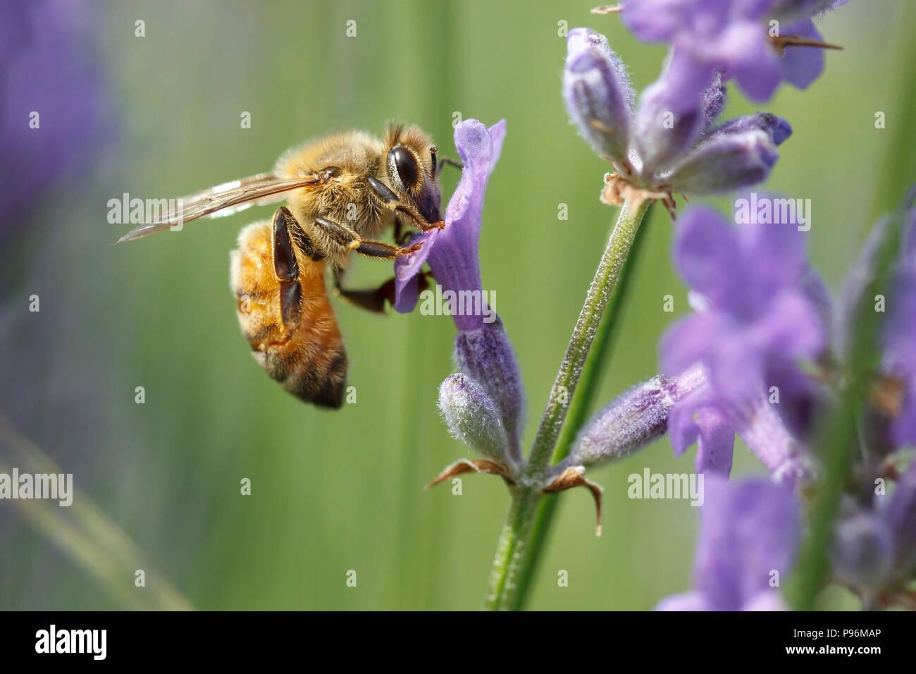De cerca una abeja de miel, Apis, sobre una planta de lavanda, Lavándula spica. Imagen De Stock