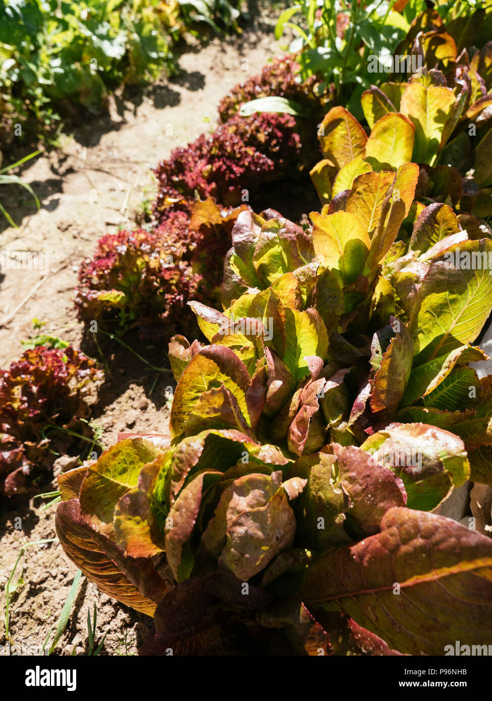 Lollo Rosso y lechuga romana Cimmaron rojo que crece en un jardín de vegetales. Foto de stock