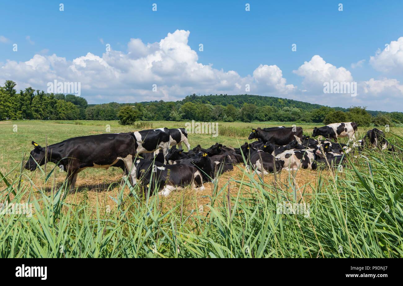 Un rebaño de vacas en blanco y negro en un campo de verano en West Sussex, Inglaterra, Reino Unido. Manada de ganado. Imagen De Stock