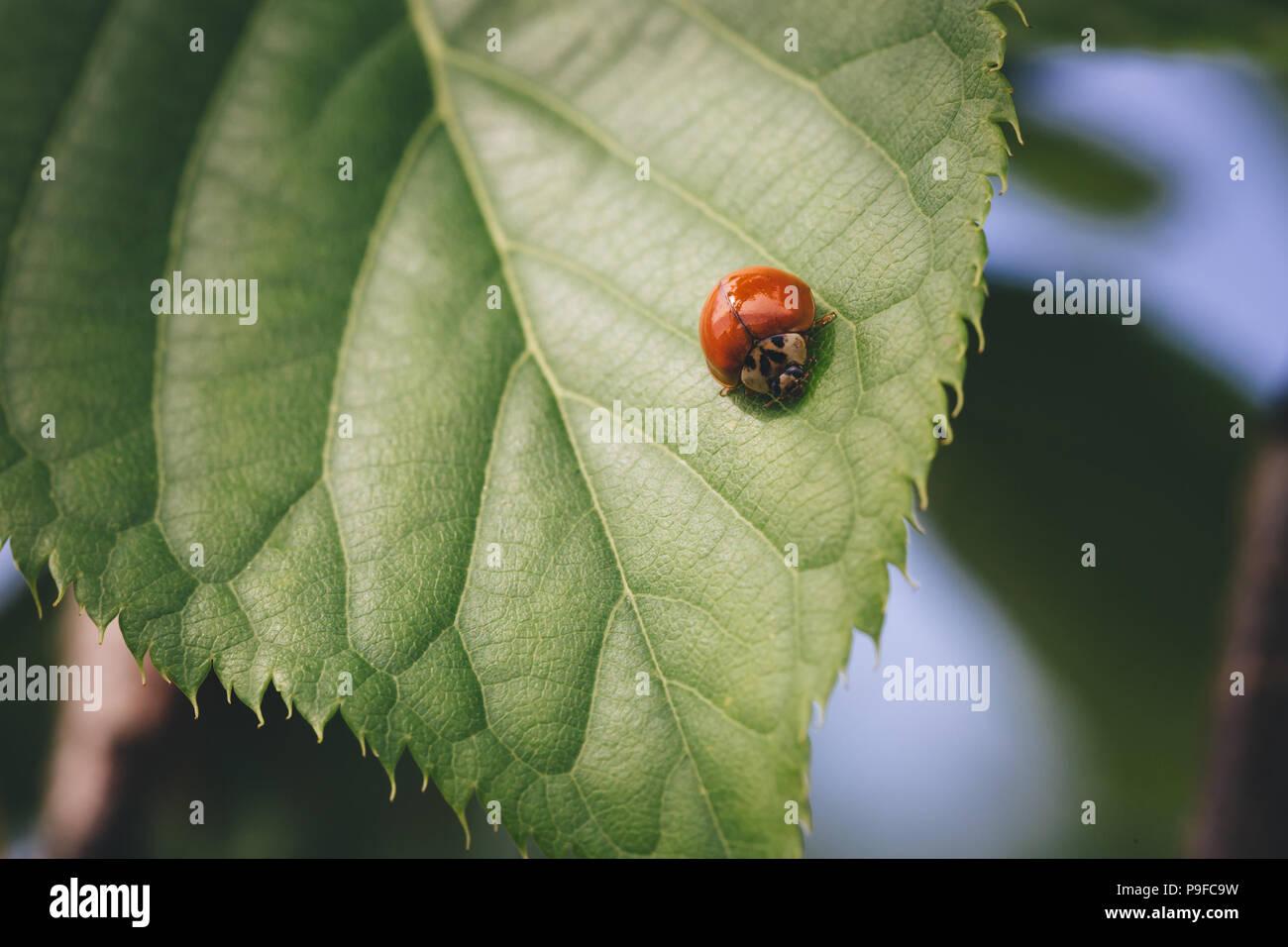 Ladybug rojo sobre verde hoja de frambuesa. Foto de stock
