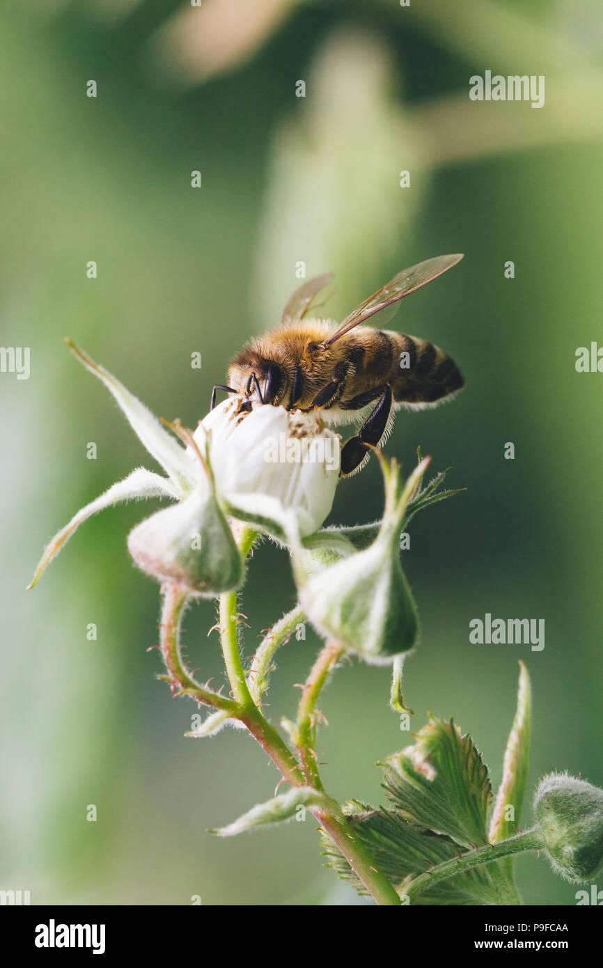 Cerca de una abeja polinizando flores de frambuesa. Foto de stock