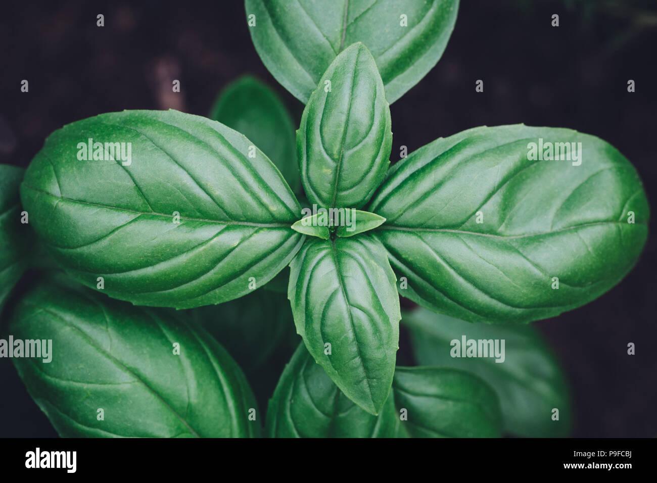 Albahaca planta cerrar vista desde arriba Foto de stock