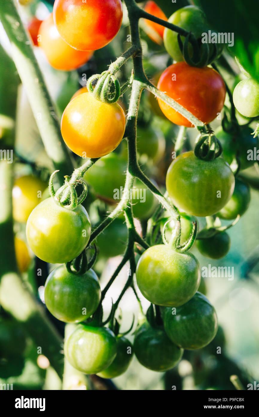 Cerca de rojo, naranja y verde tomates cherry en una planta de tomate. Foto de stock